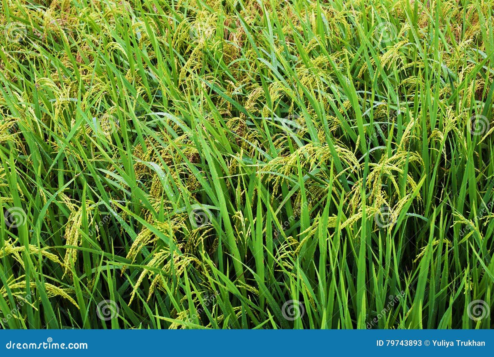 El arroz coloca en Tailandia, Vietnam o Bali colgante