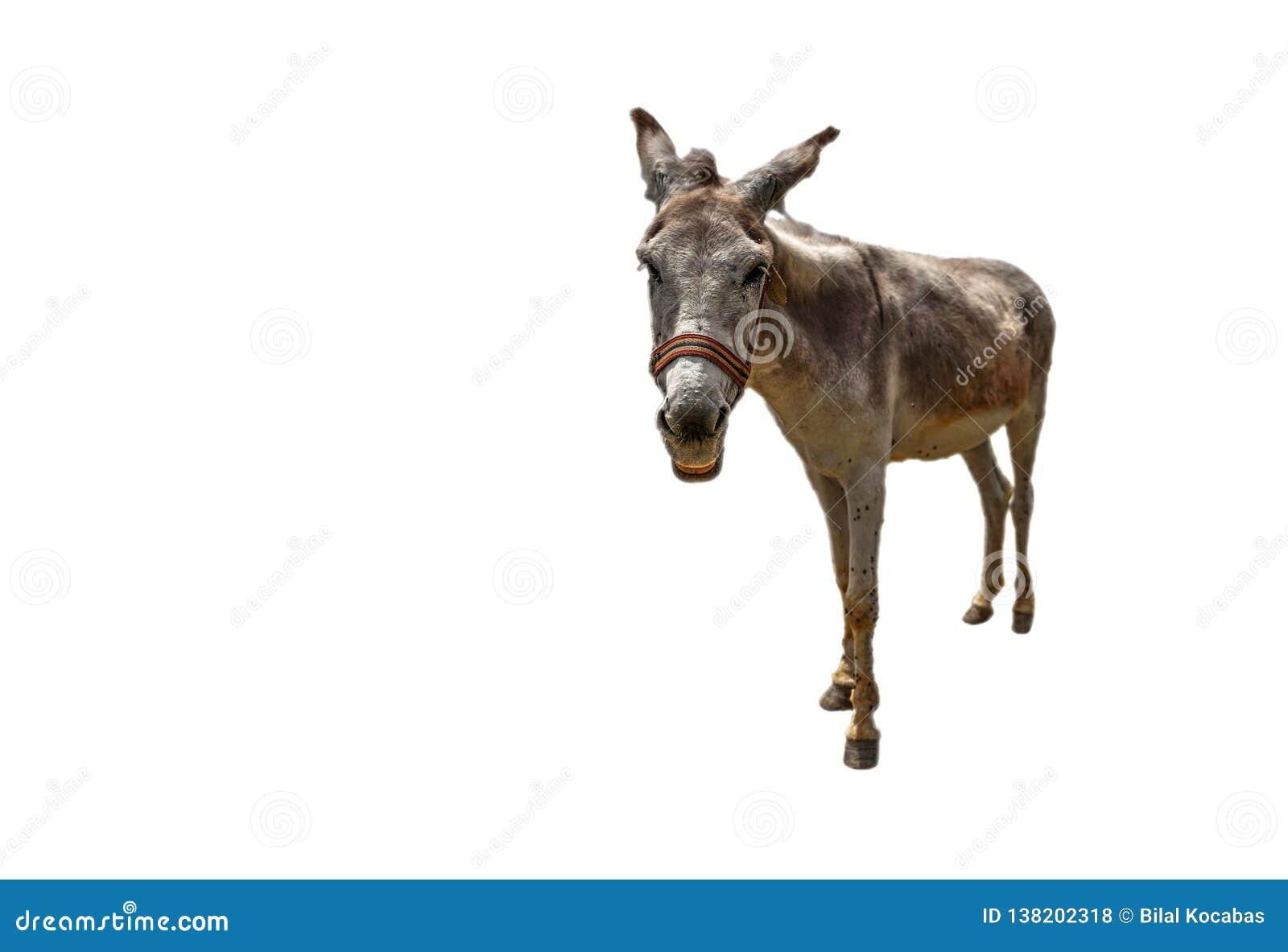 El asinus blanco del burro en latín está consiguiendo más cerca en fondo blanco aislado