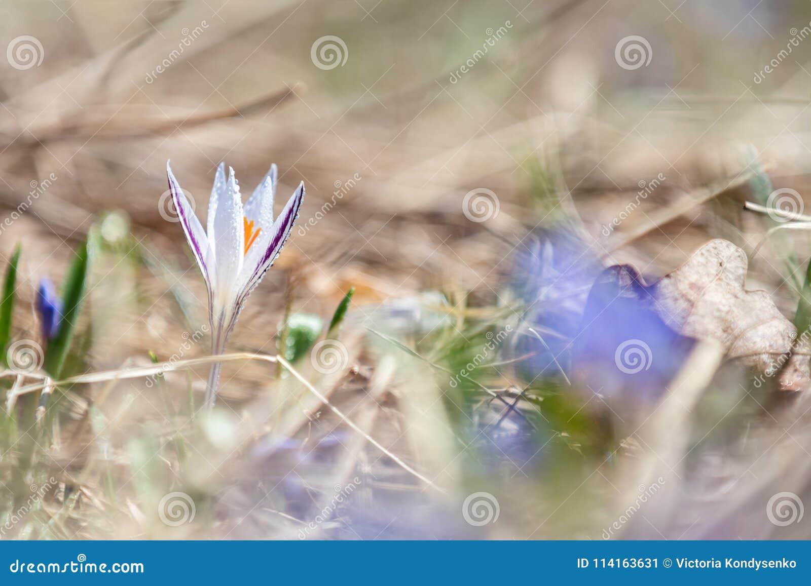El azafrán salvaje con descensos del agua rodeada por la primavera gotea