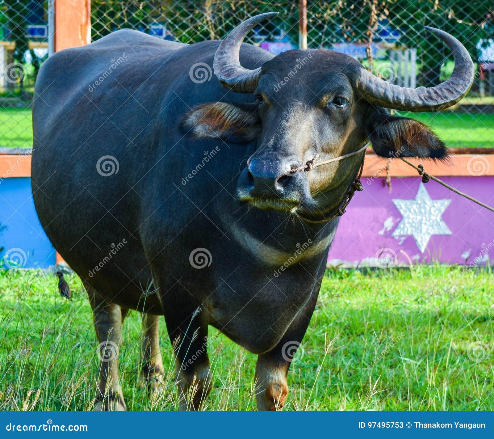 El búfalo tailandés está comiendo la hierba verde en archivada