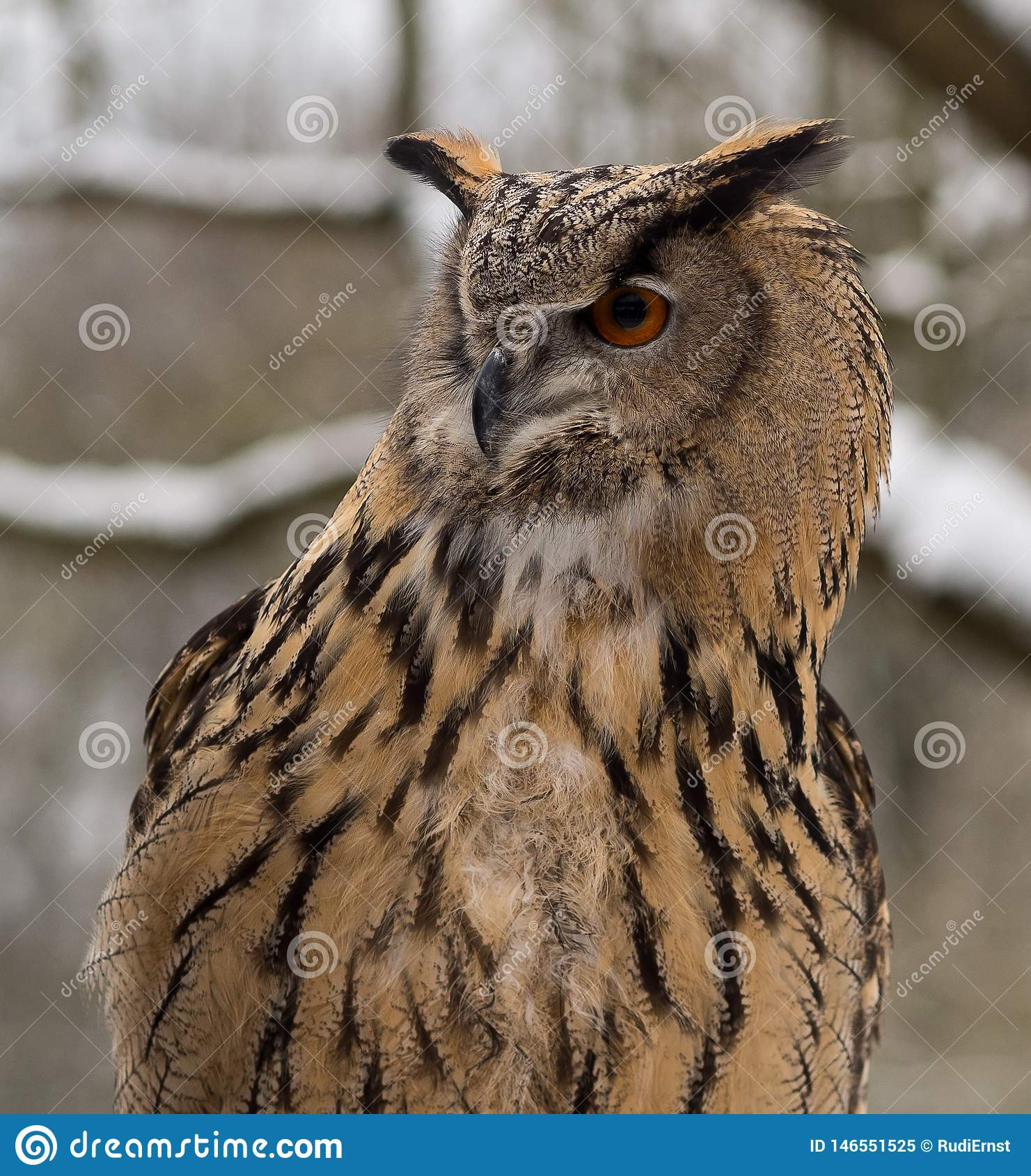 El b?ho de orejas alargadas, otus del Asio en un parque de naturaleza alem?n