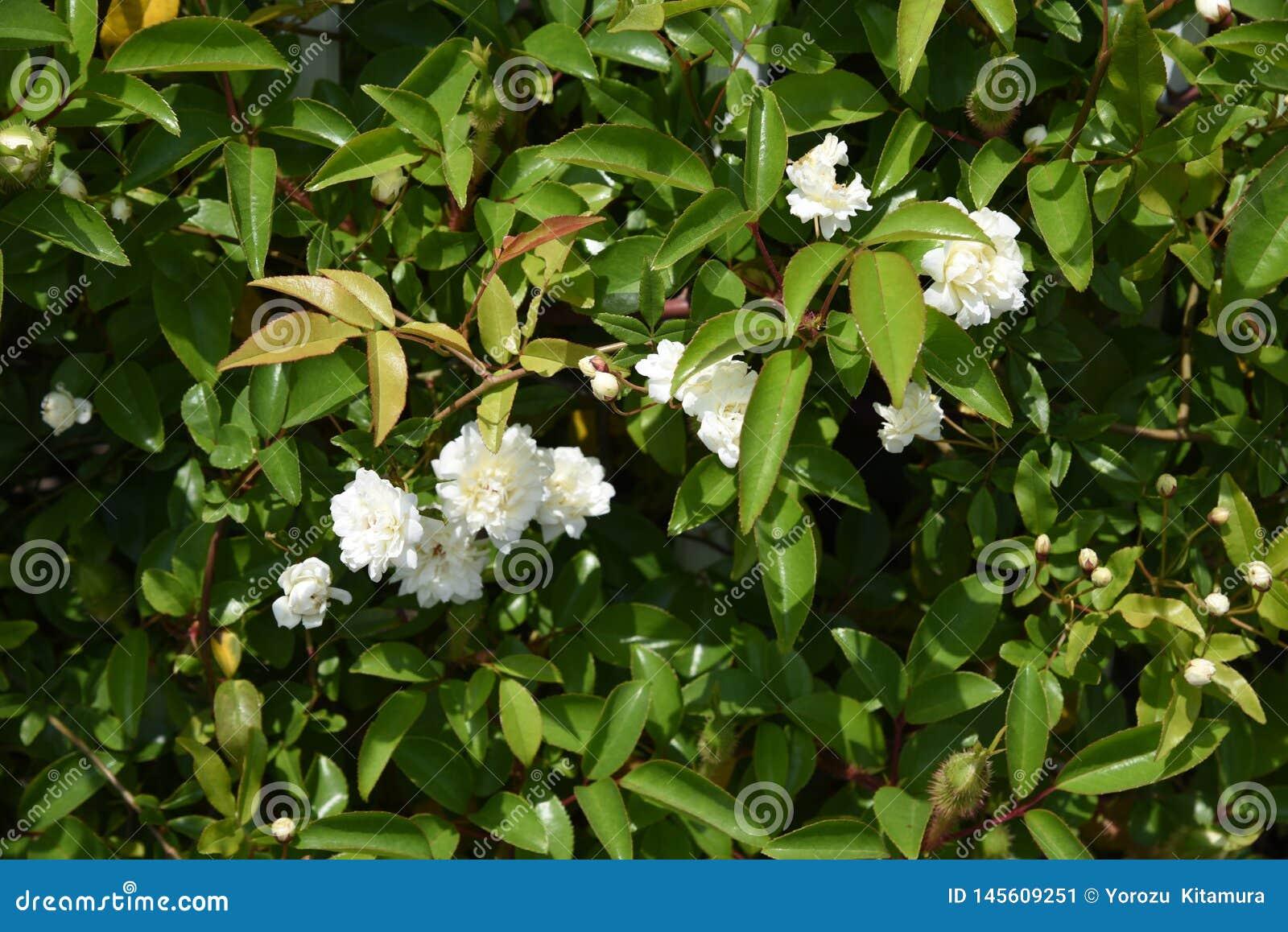 El Banksia subi? los flores