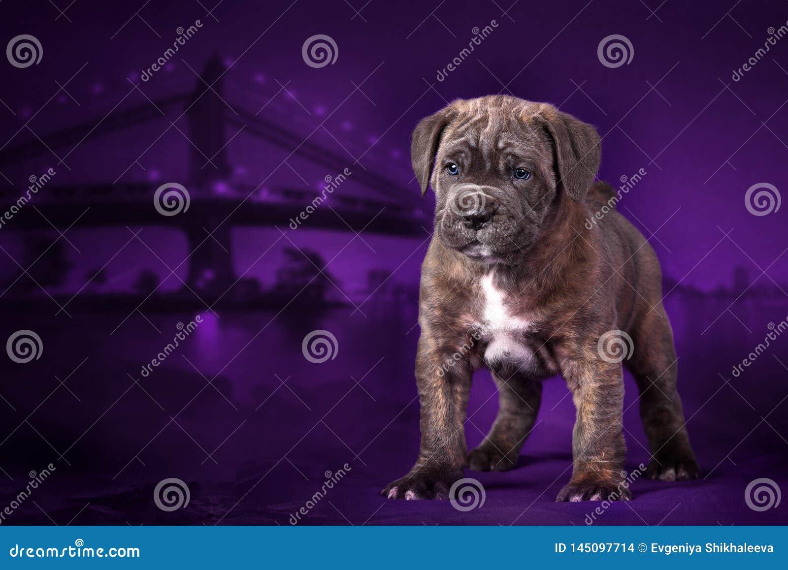 El bastón Corso de la raza del perrito se coloca en el fondo de la ciudad de la noche