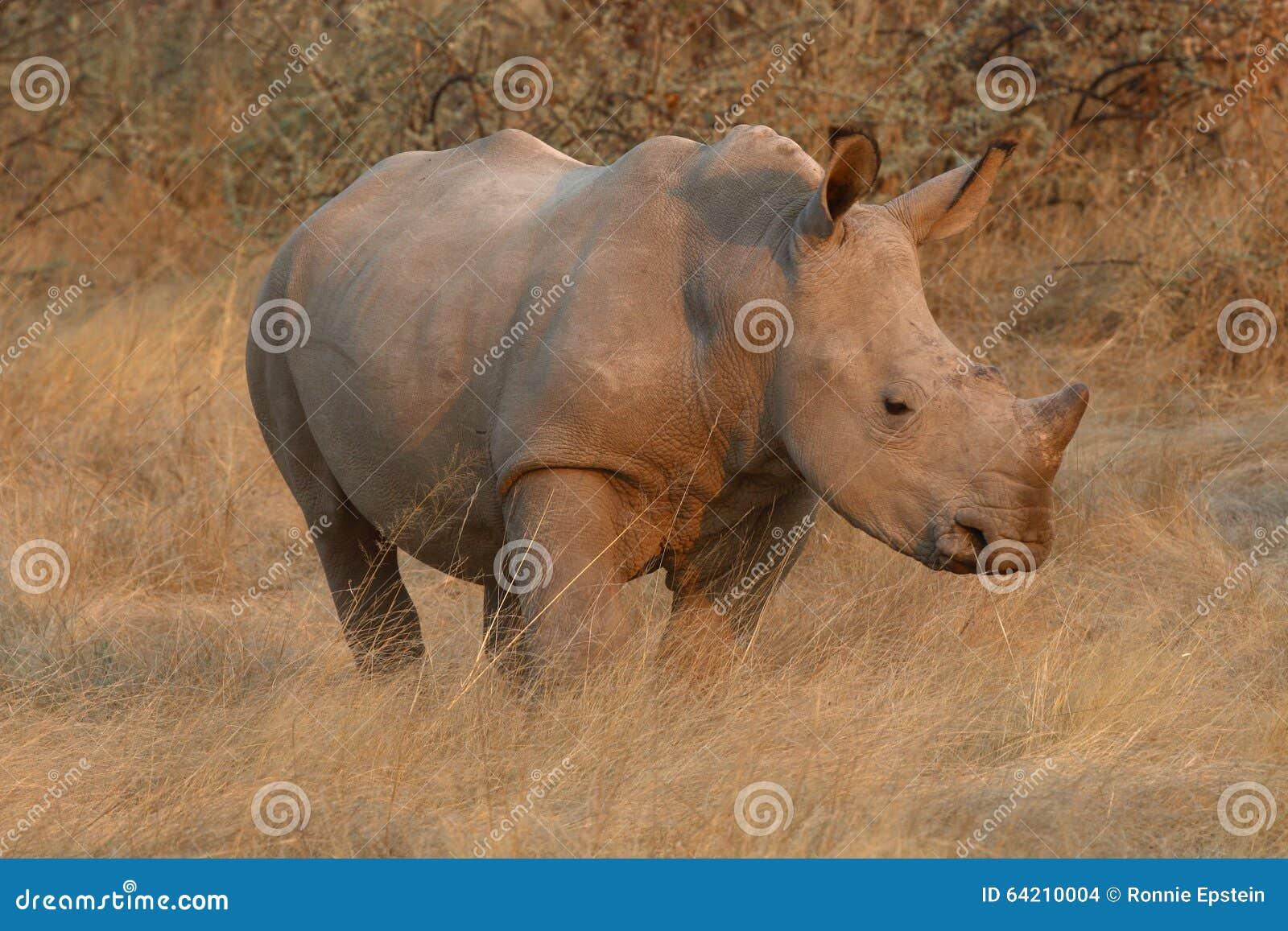 El becerro del rinoceronte blanco se coloca en el veld en la puesta del sol