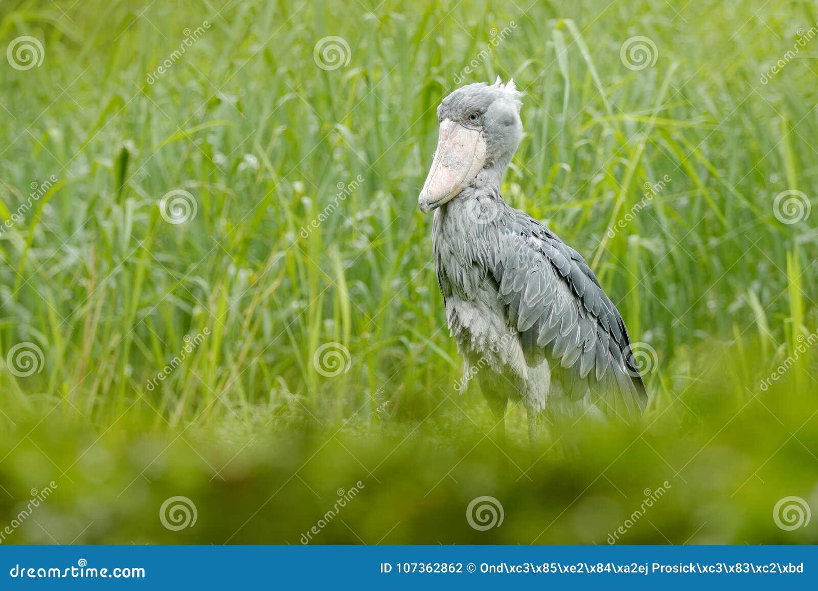 El Birdwatching en África Shoebill, rex del Balaeniceps, retrato del pájaro grande del pico, Congo Escena de la fauna del detalle