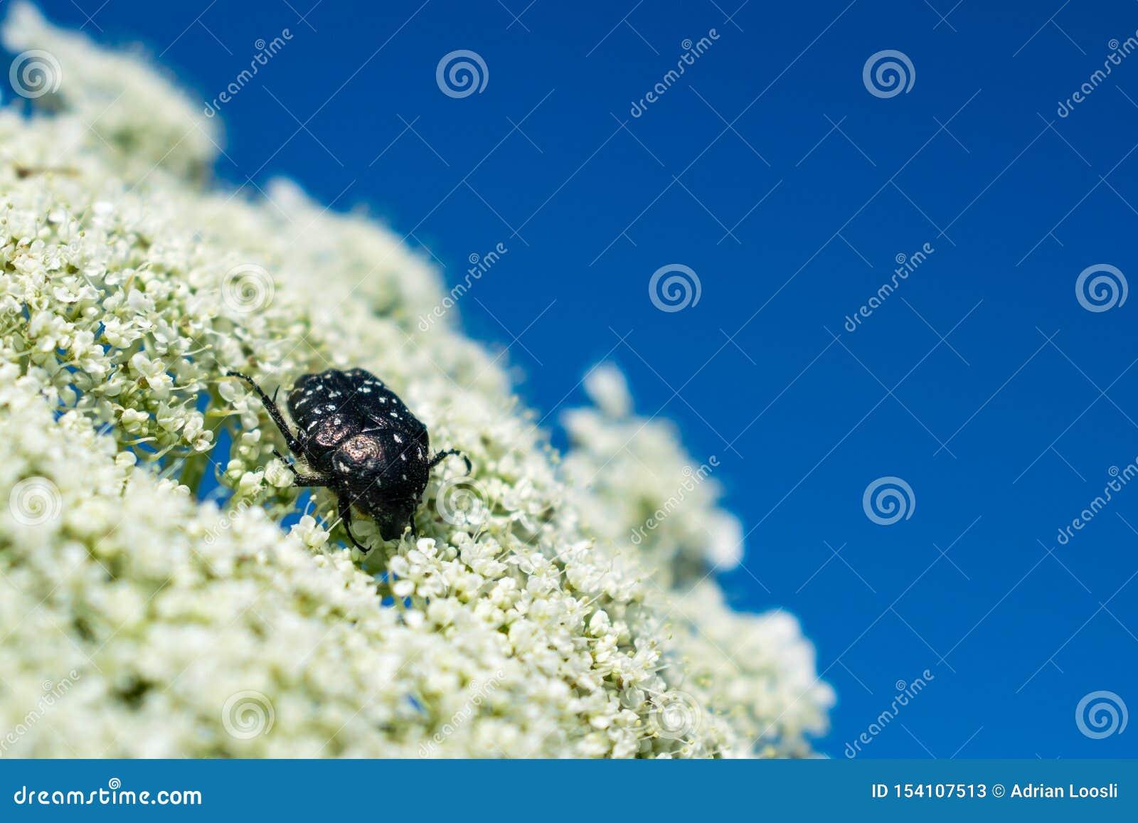 El blanco manchó el escarabajo color de rosa en la flor blanca