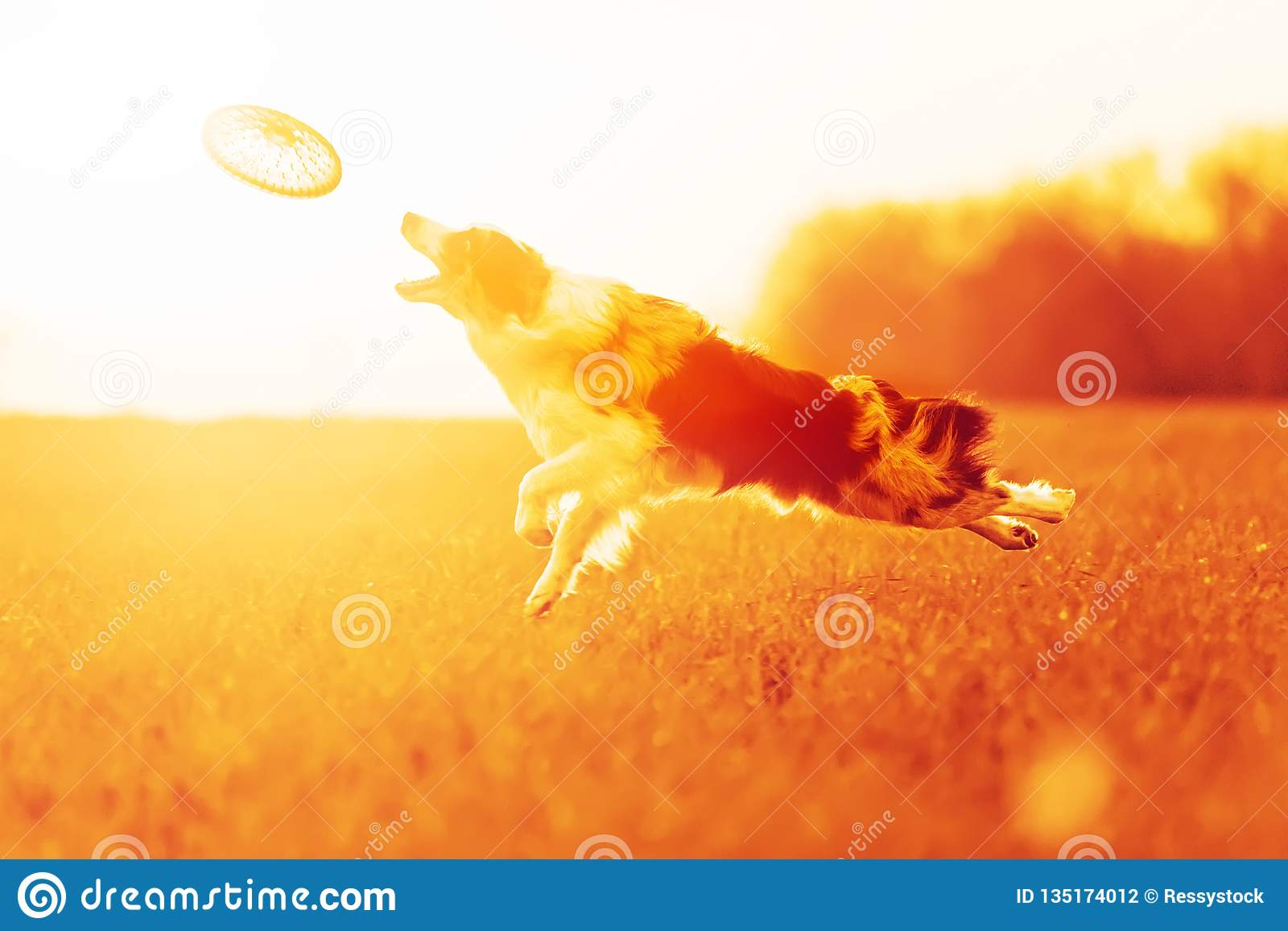 El border collie del perro de Mramar salta adentro al cielo en campo