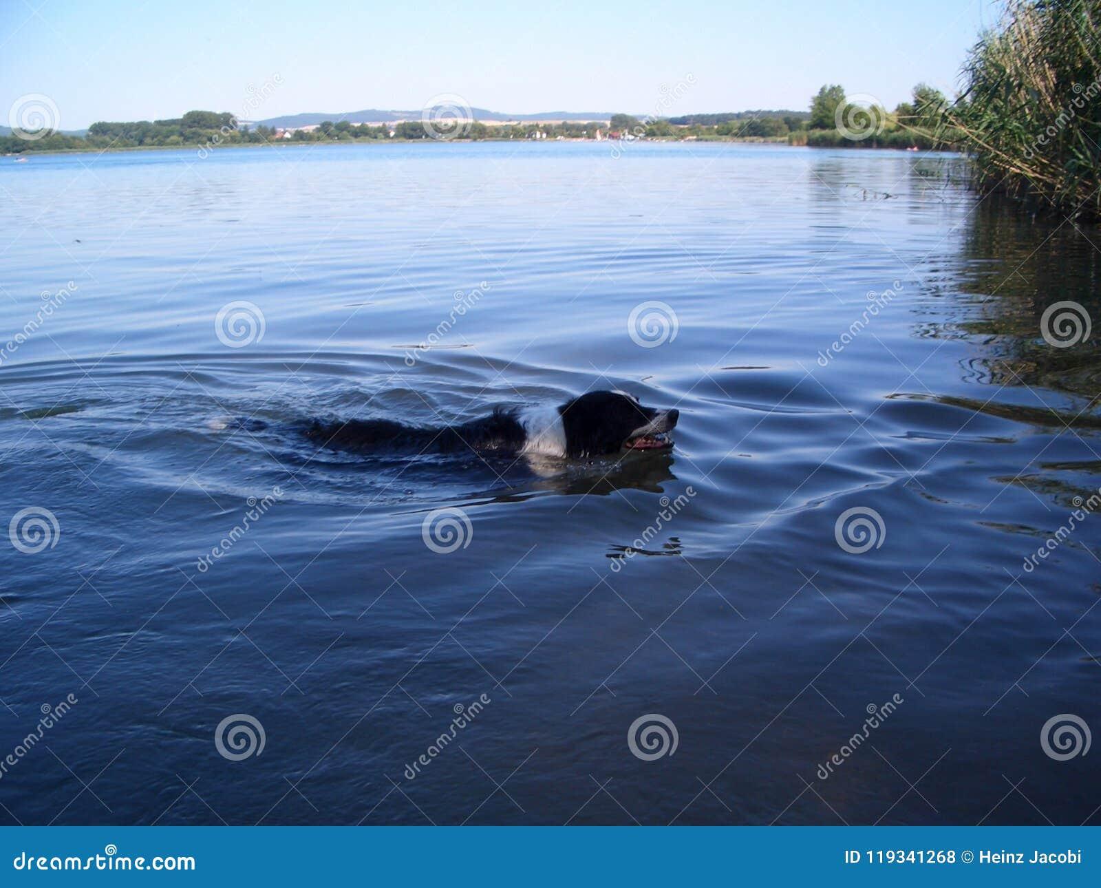El border collie nada en un lago