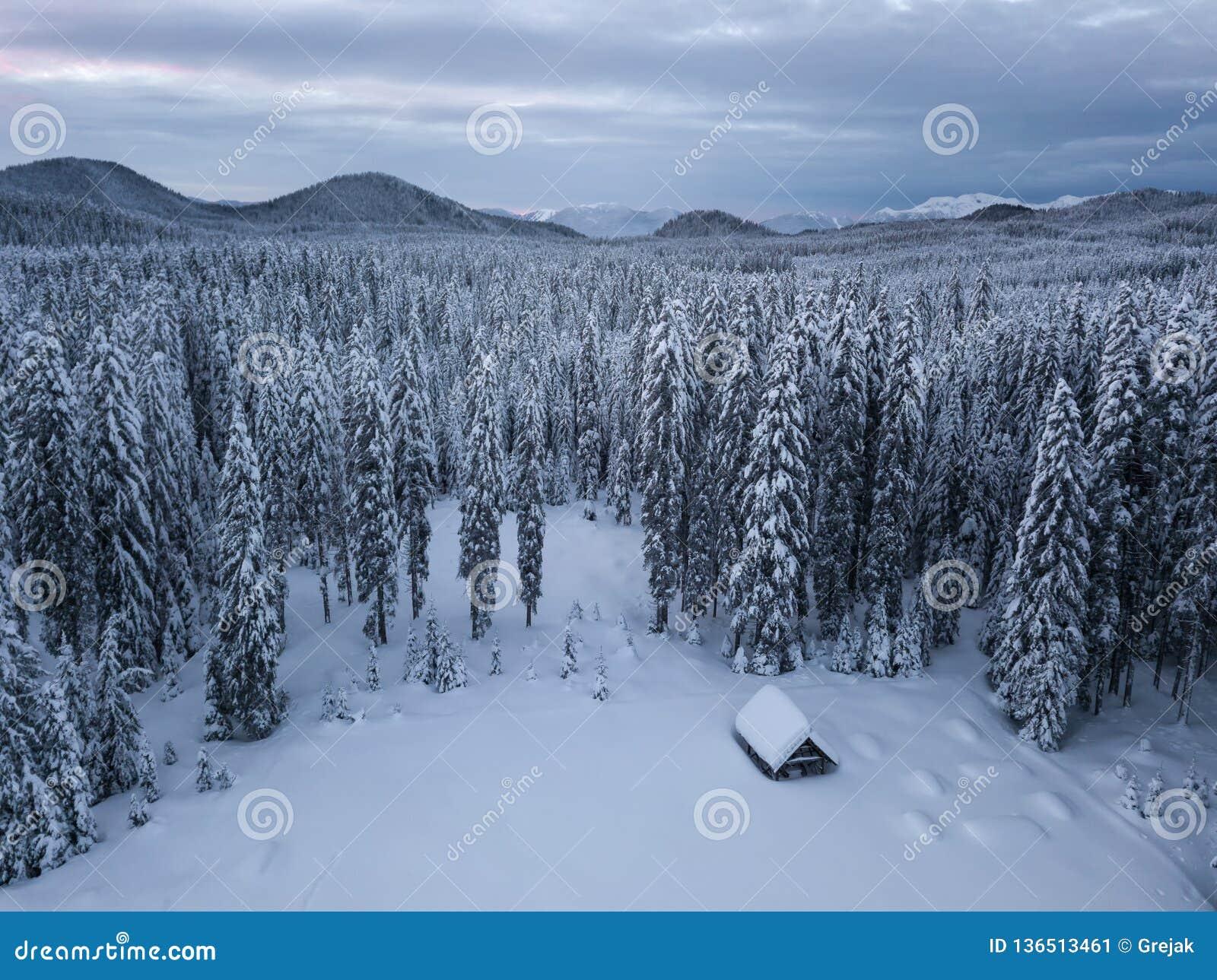 El bosque alpino del invierno en Pokljuka Eslovenia cubrió en nieve en el amanecer