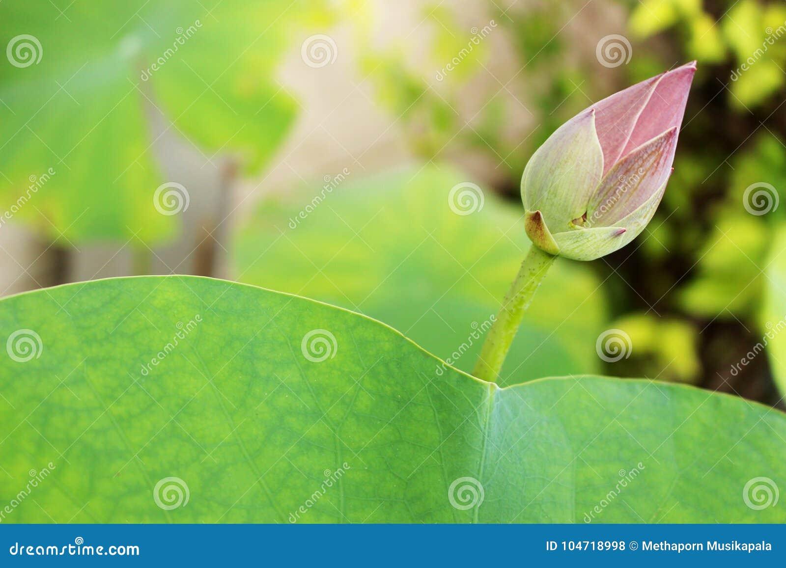 El Brote Hermoso De Una Flor De Loto Rosada Y El Loto Verde Hojean