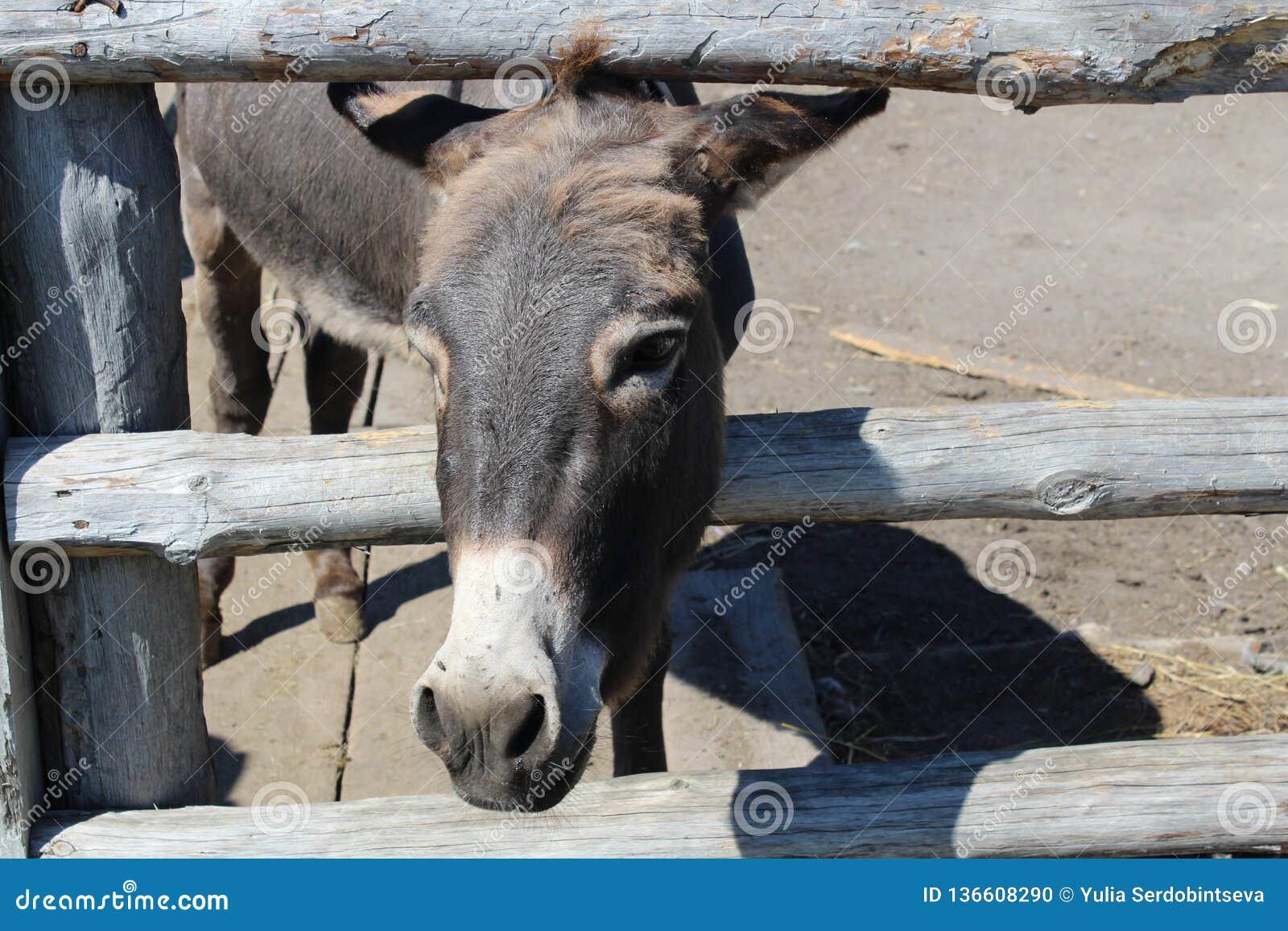 El burro gris mira hacia fuera de detrás la cerca
