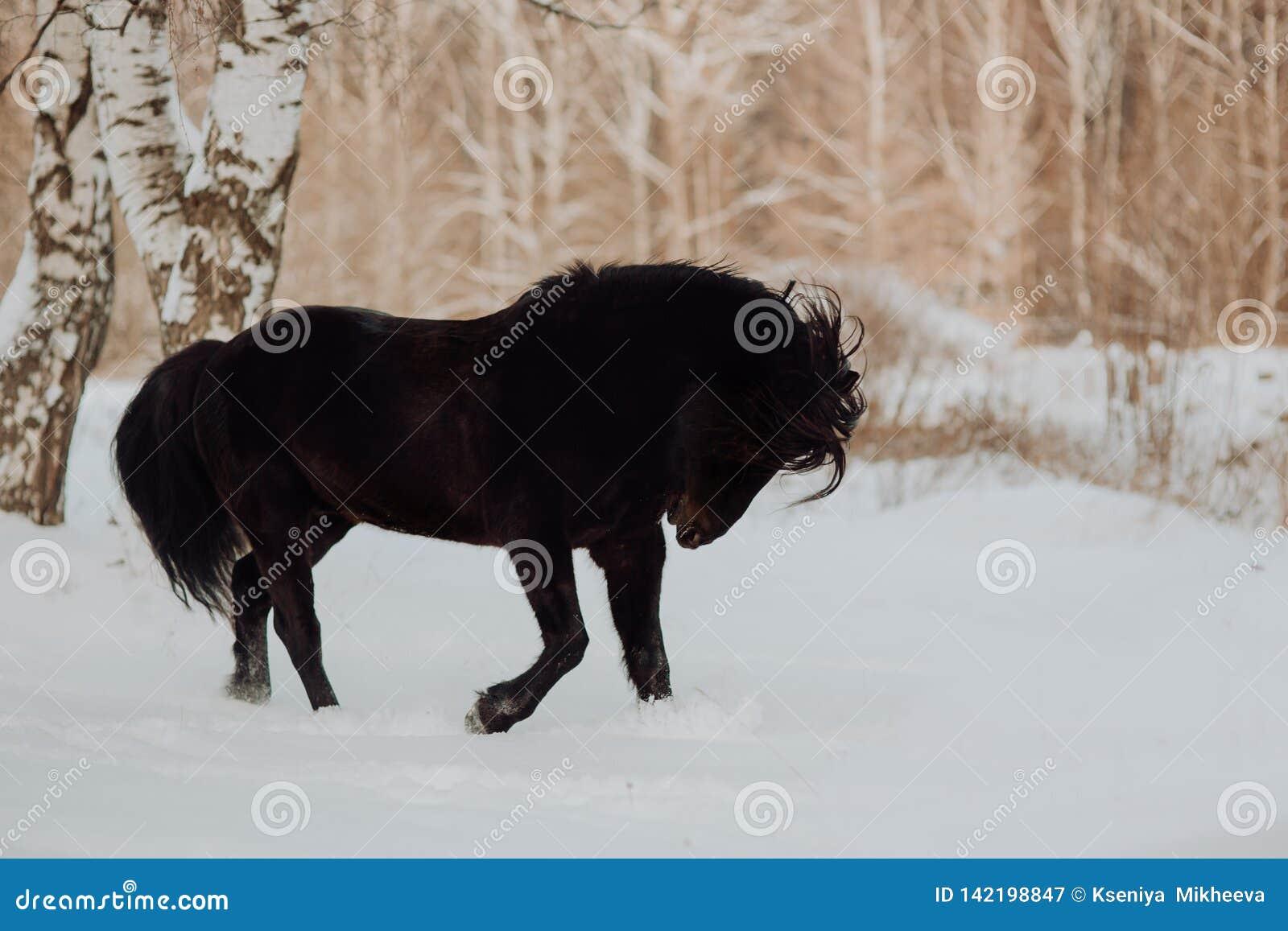 El caballo negro funciona con galope en invierno en la nieve blanca en bosque