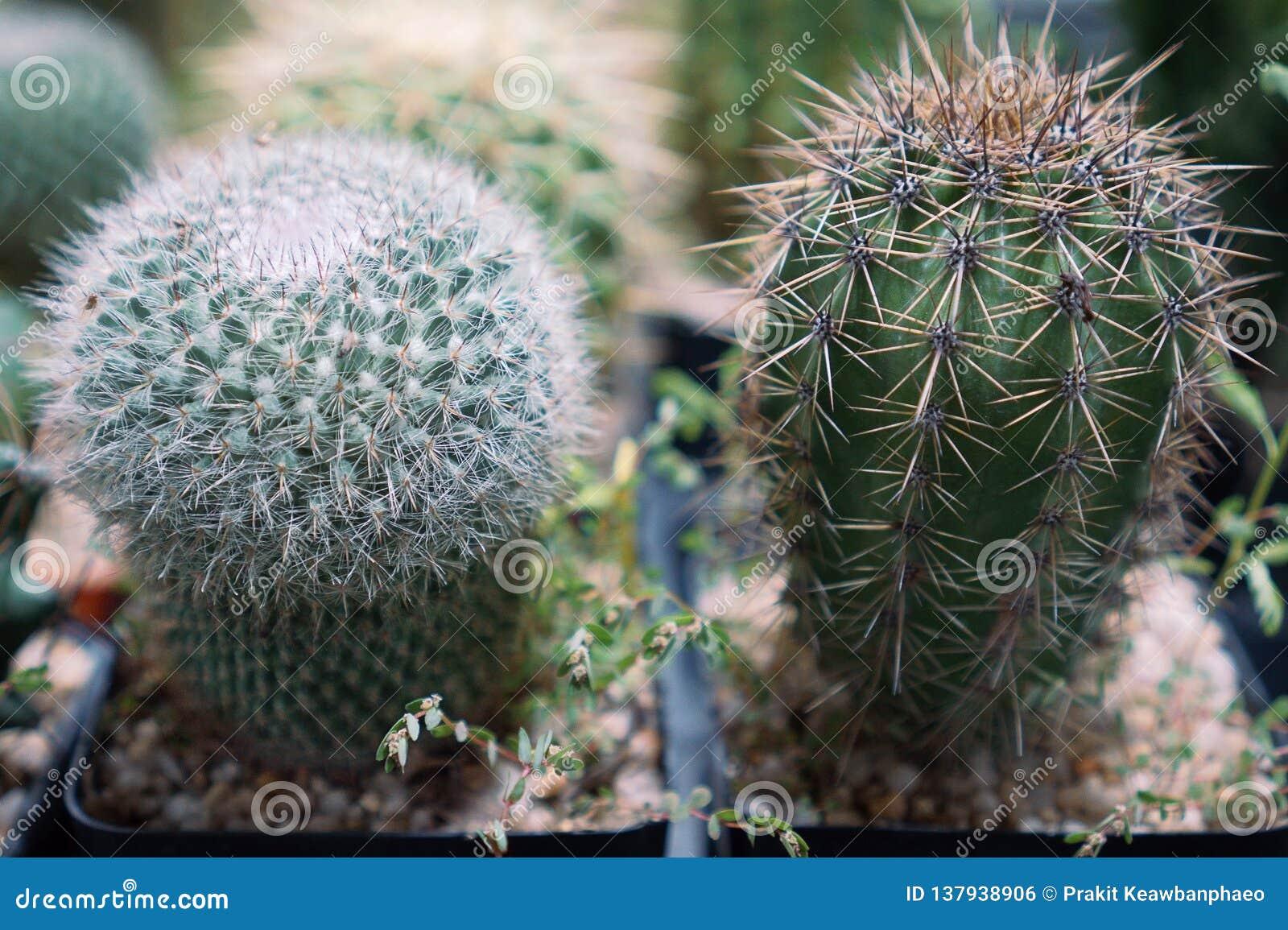 El cactus es un miembro del Cactaceae de la familia de plantas a la familia que comprende cerca de 127 géneros con un ciertas esp