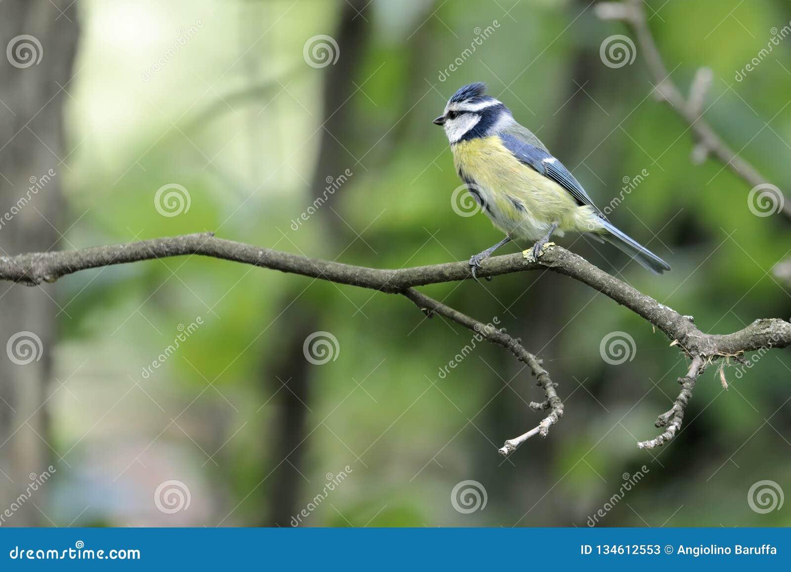 El caeruleus eurasiático de los cyanistes del tit azul se encaramó en una rama