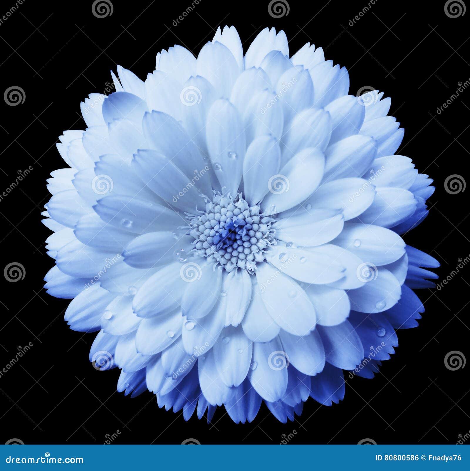 El Calendula Azul De La Flor De La Azul Luz Petalos De Los Flores