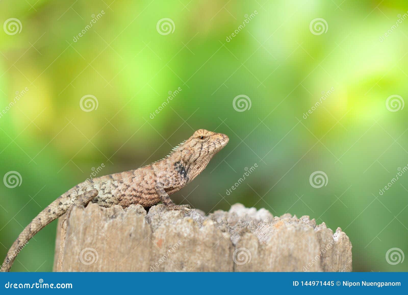 El camaleón asiático toma el sol en tocón por mañana