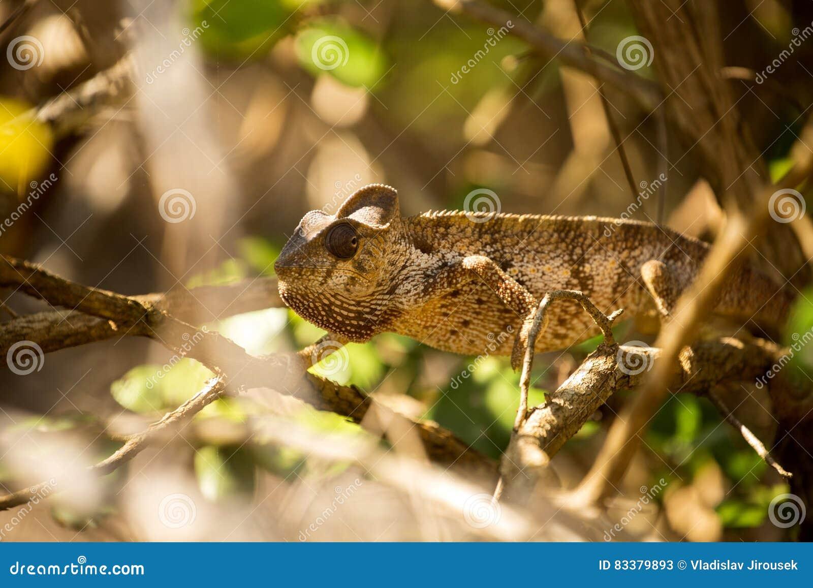 El camaleón del ` s de Petter, Furcifer Petteri es relativamente abundante en las zonas costeras de Madagascar septentrional