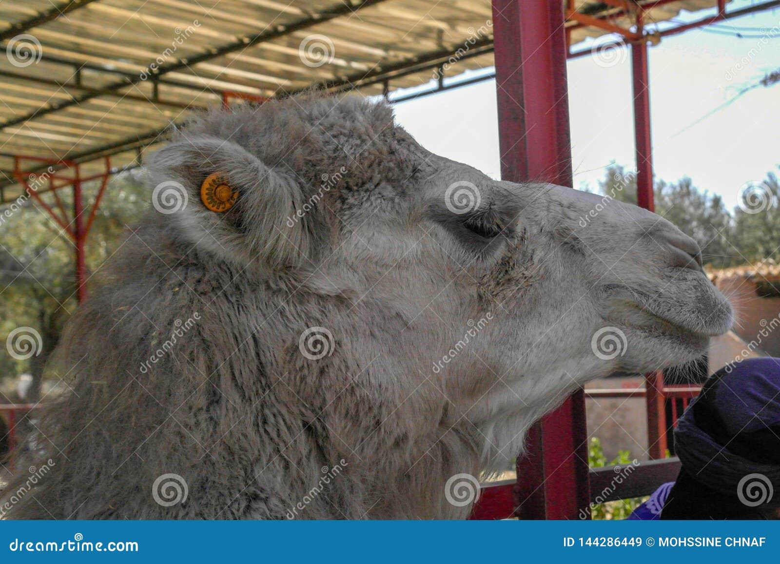 El camello marroquí