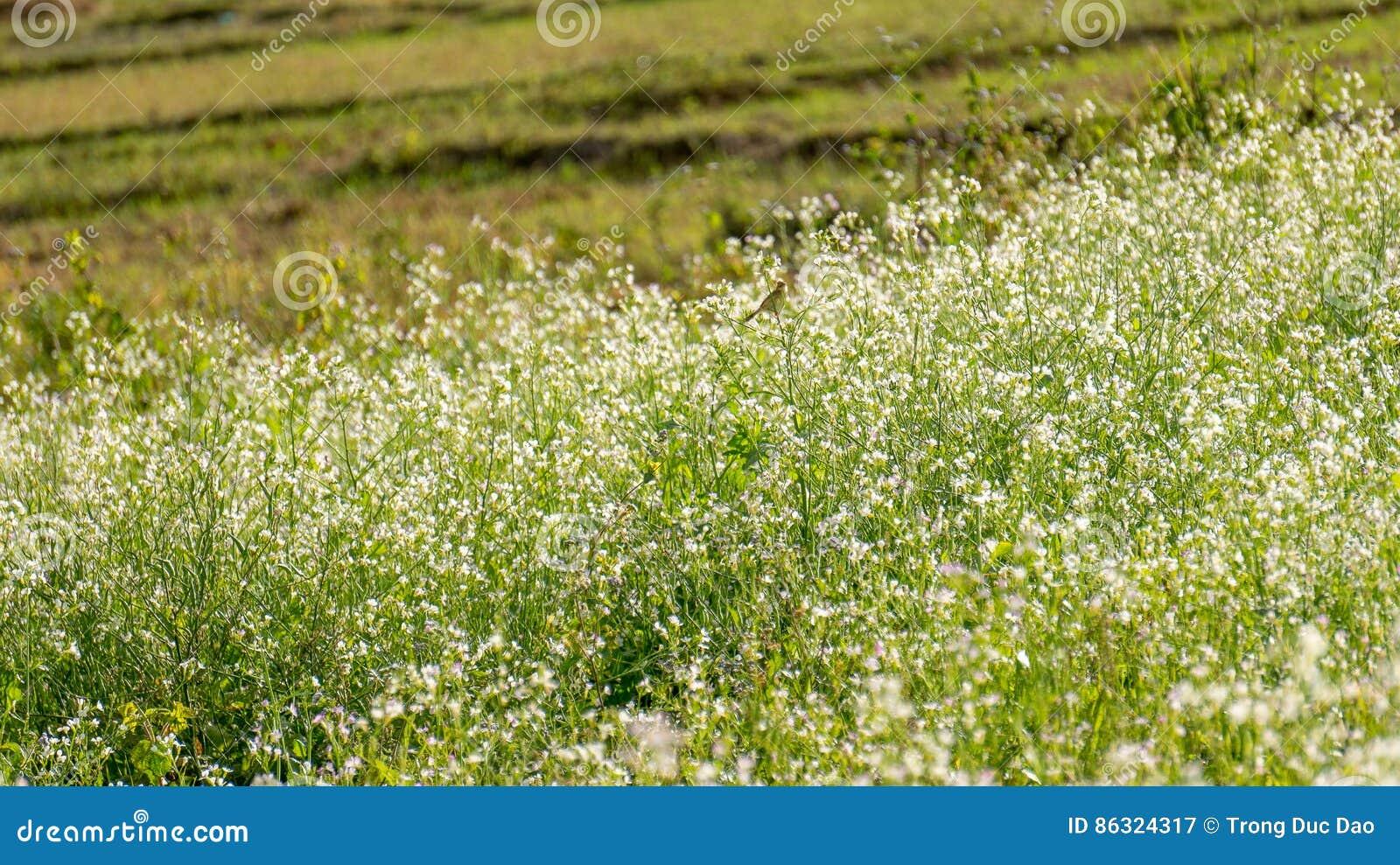El campo de la mostaza con la flor blanca en DonDuong - Dalat- Vietnam