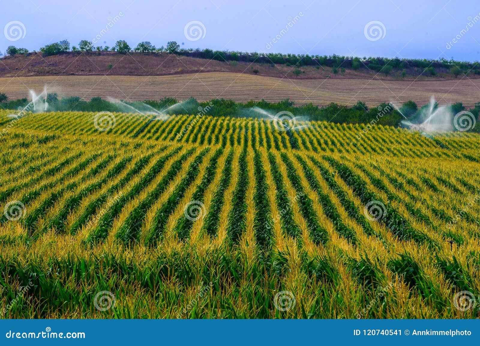 El campo verde con la cosecha creciente del maíz sprinckled por el agua usando