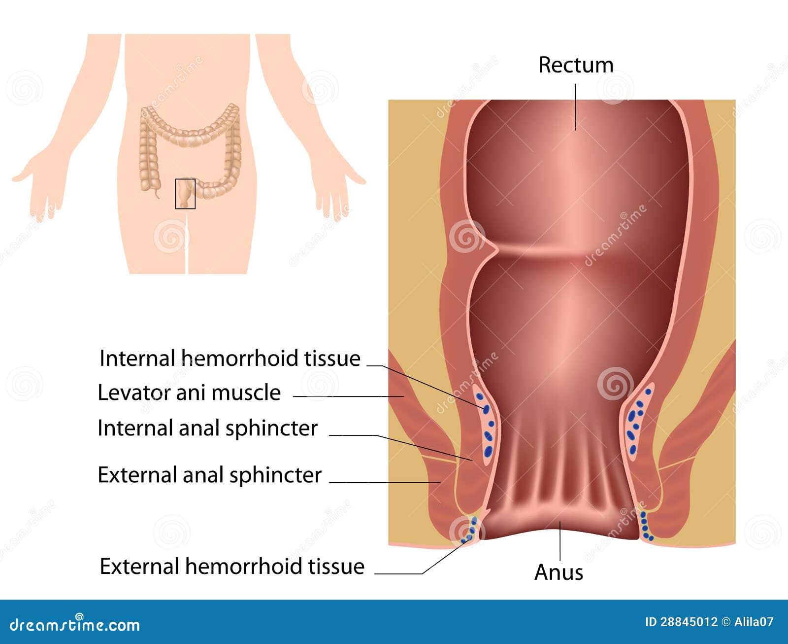 El canal anal ilustración del vector. Ilustración de digestivo ...