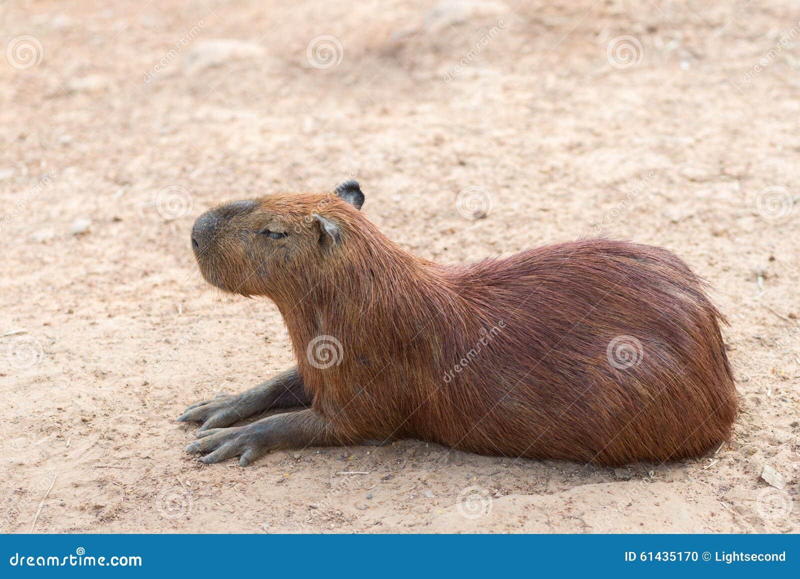 El capybara es el roedor más grande