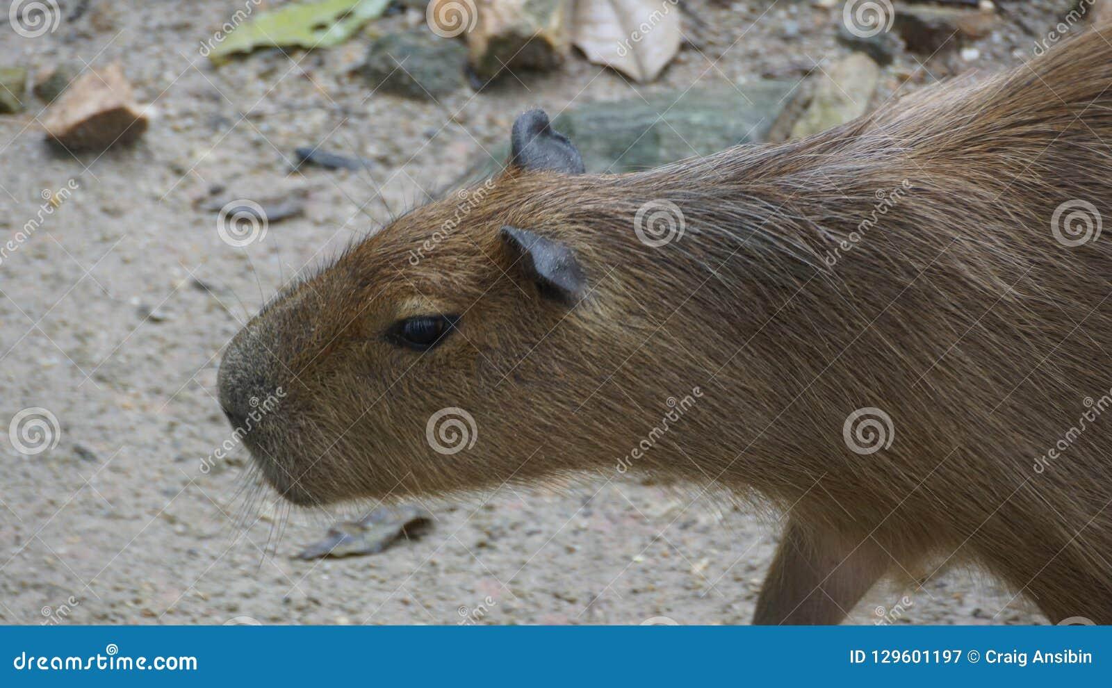 El Capybara es un natural del mamífero a Suramérica Es el roedor vivo más grande del mundo También llamó ira del ¼ del chigÃ