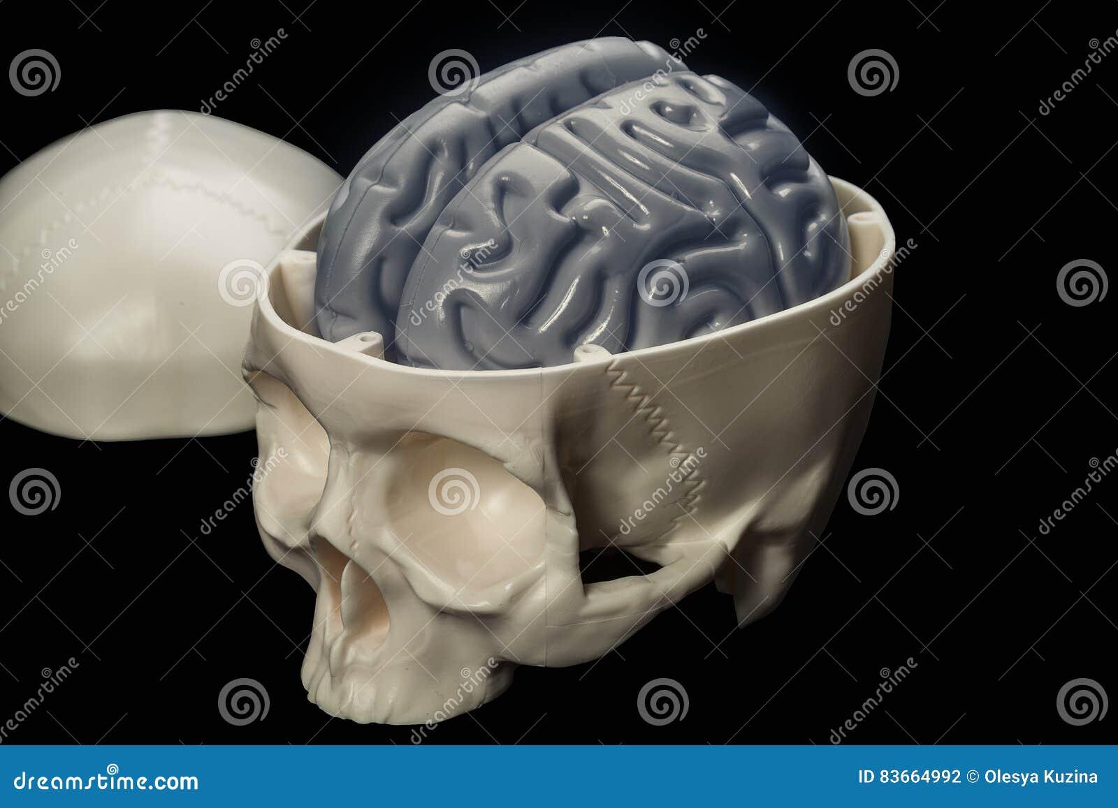 El Cerebro Humano En El Cráneo - Una Disposición Para Los ...
