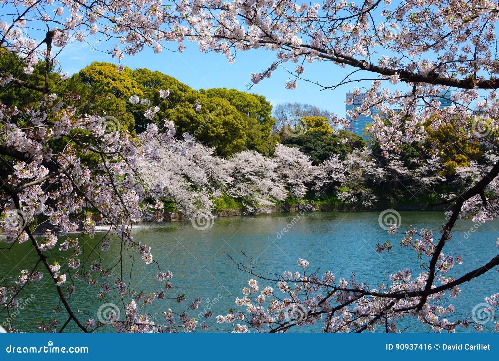 El Cerezo Ramifica Con Los Flores De La Flor Blanca Enmarca Una ...