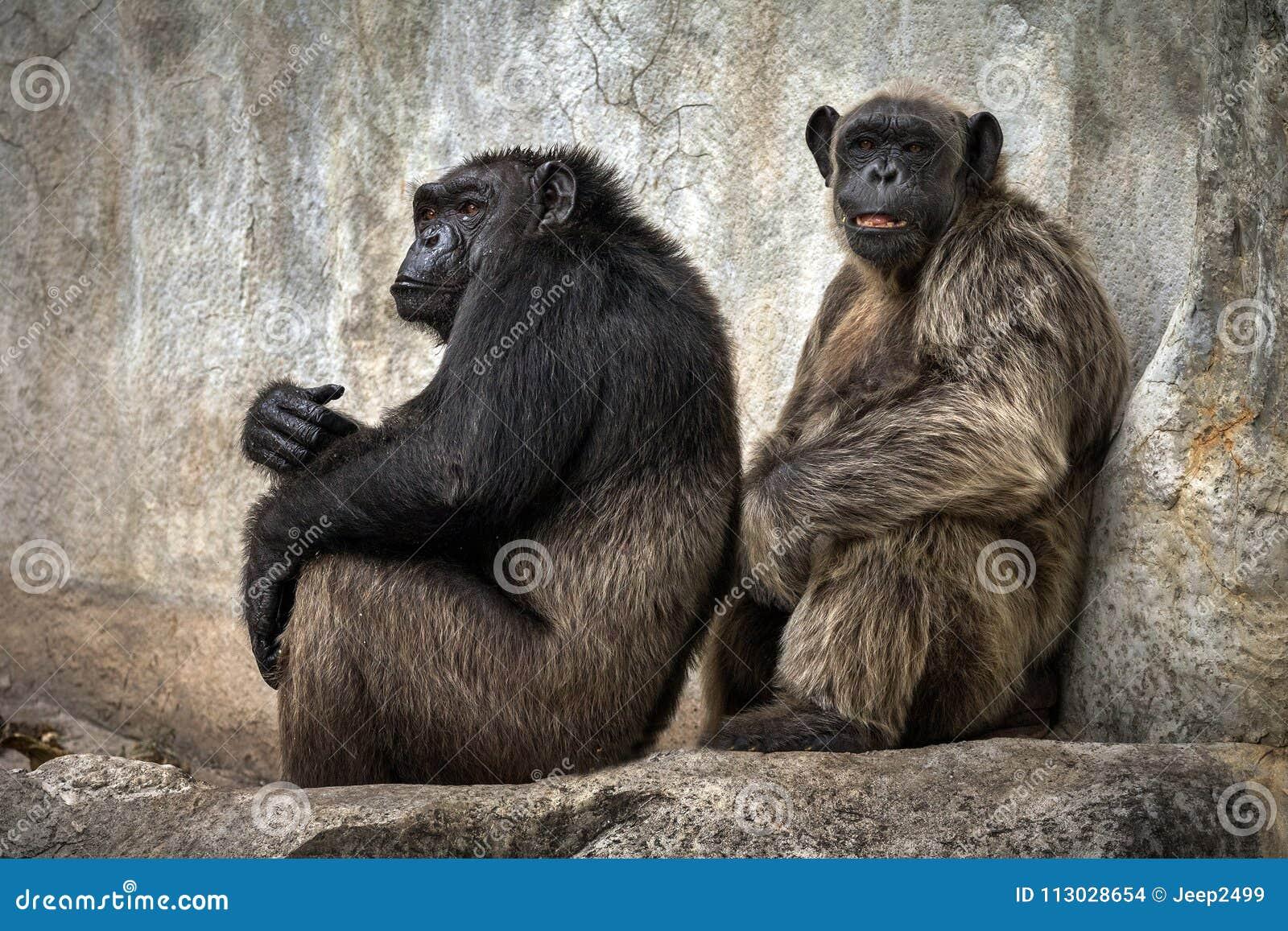 El chimpancé se relaja en las paredes de la cueva