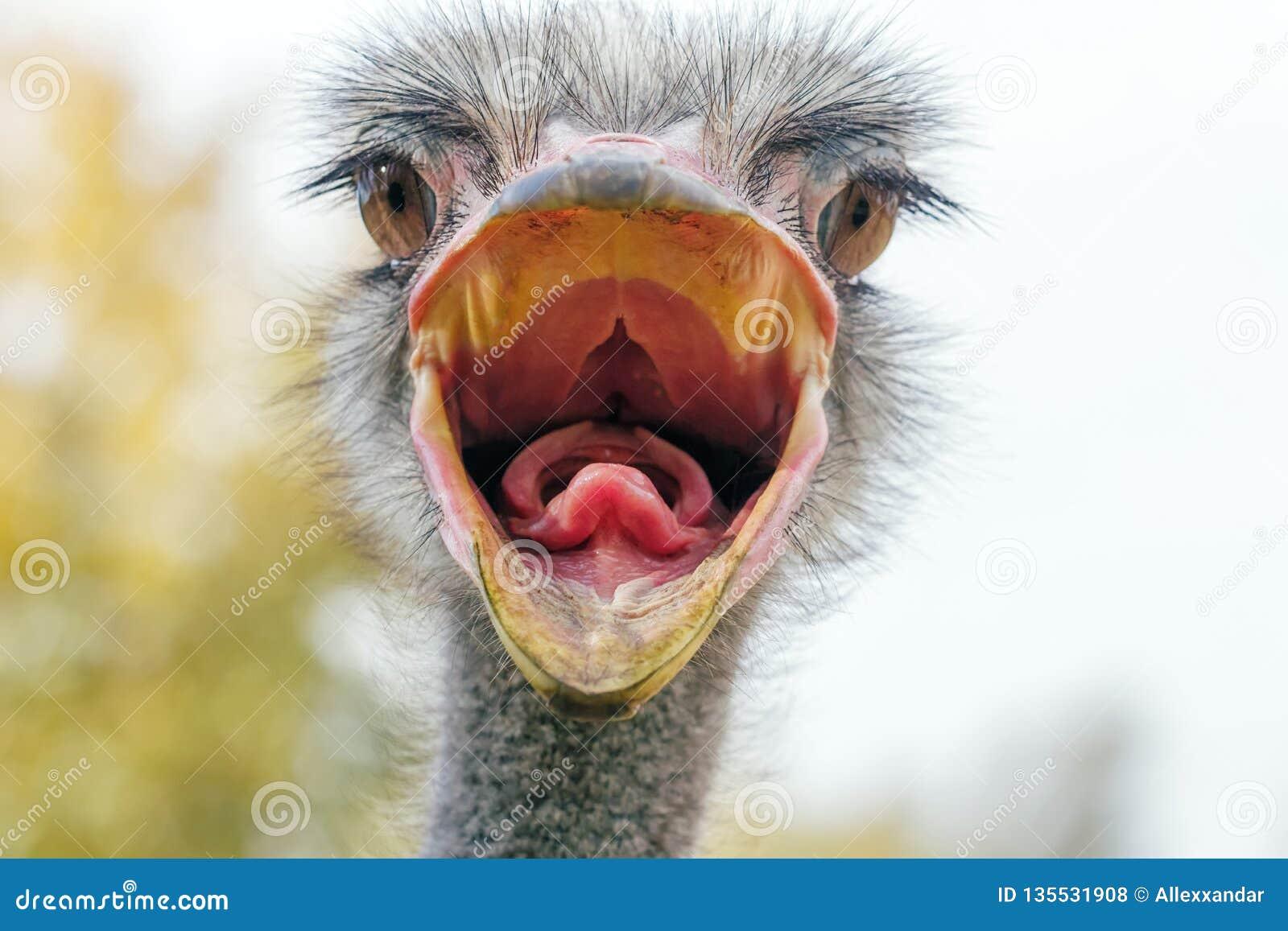 El cierre enojado de la avestruz encima del retrato, se cierra encima de camelus del Struthio de la cabeza de la avestruz