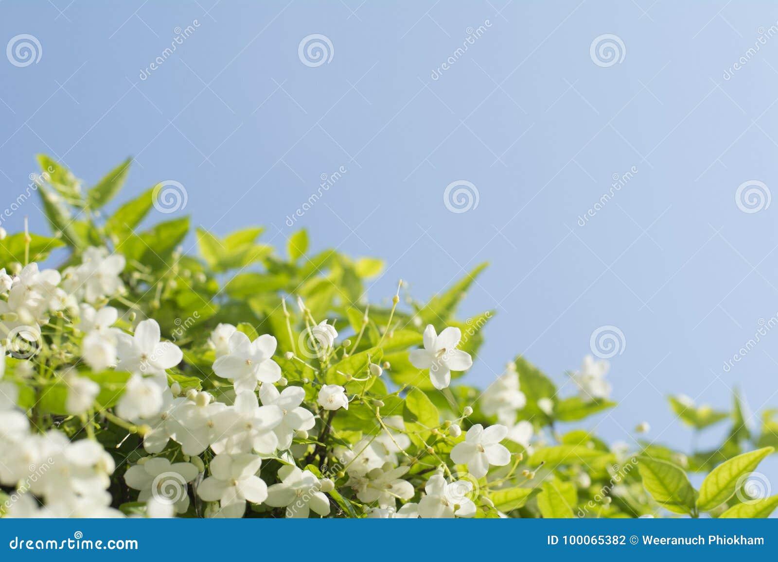 El ciruelo salvaje hermoso del agua florece con el backgr del cielo azul