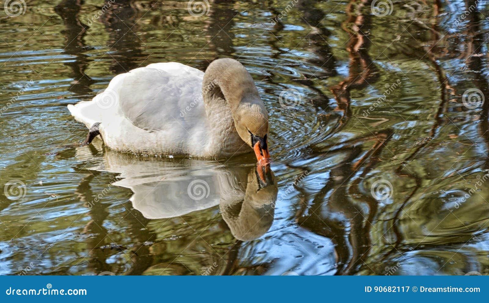 El cisne blanco hermoso en el lago bebe un agua