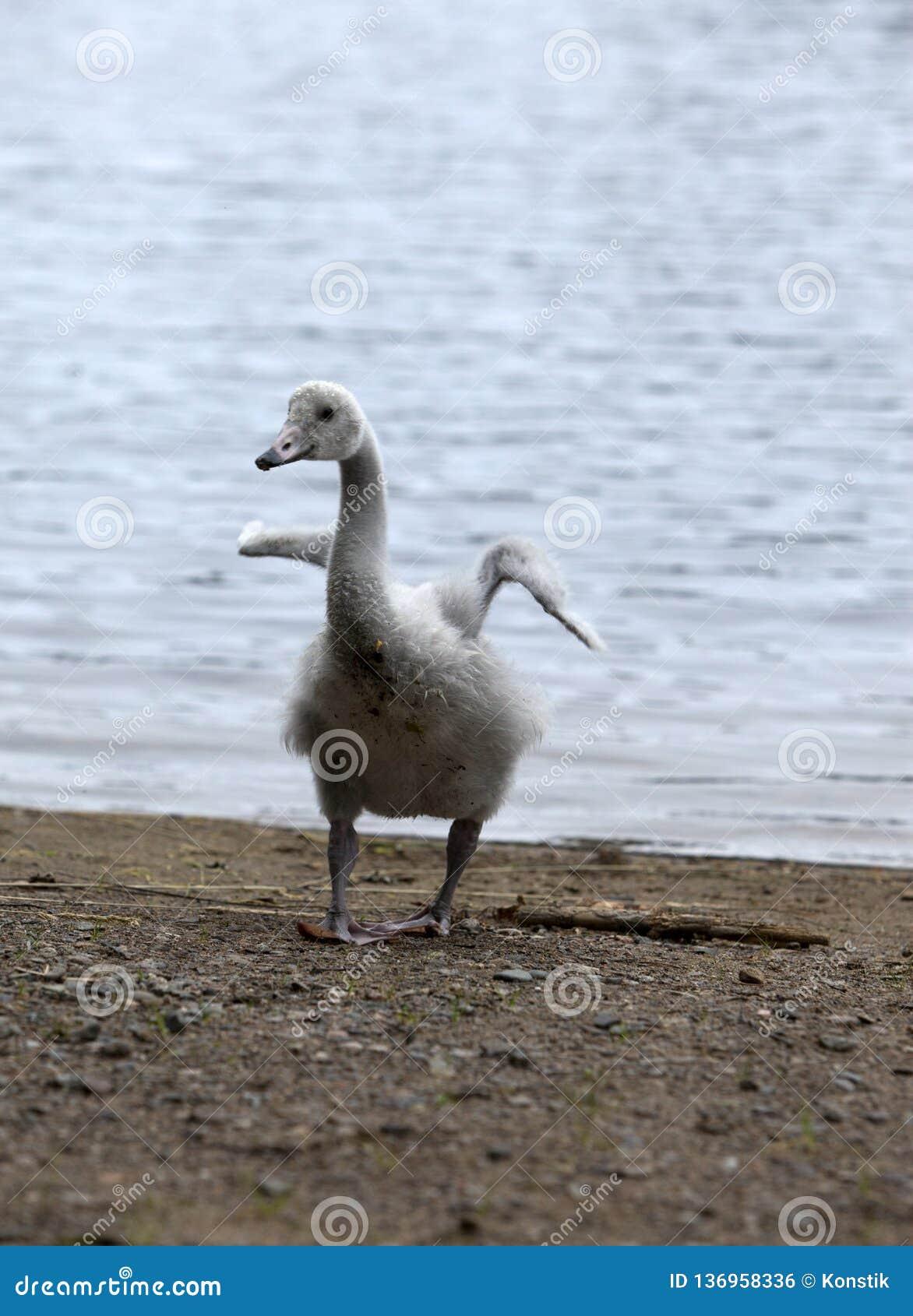 El cisne joven en el banco del lago