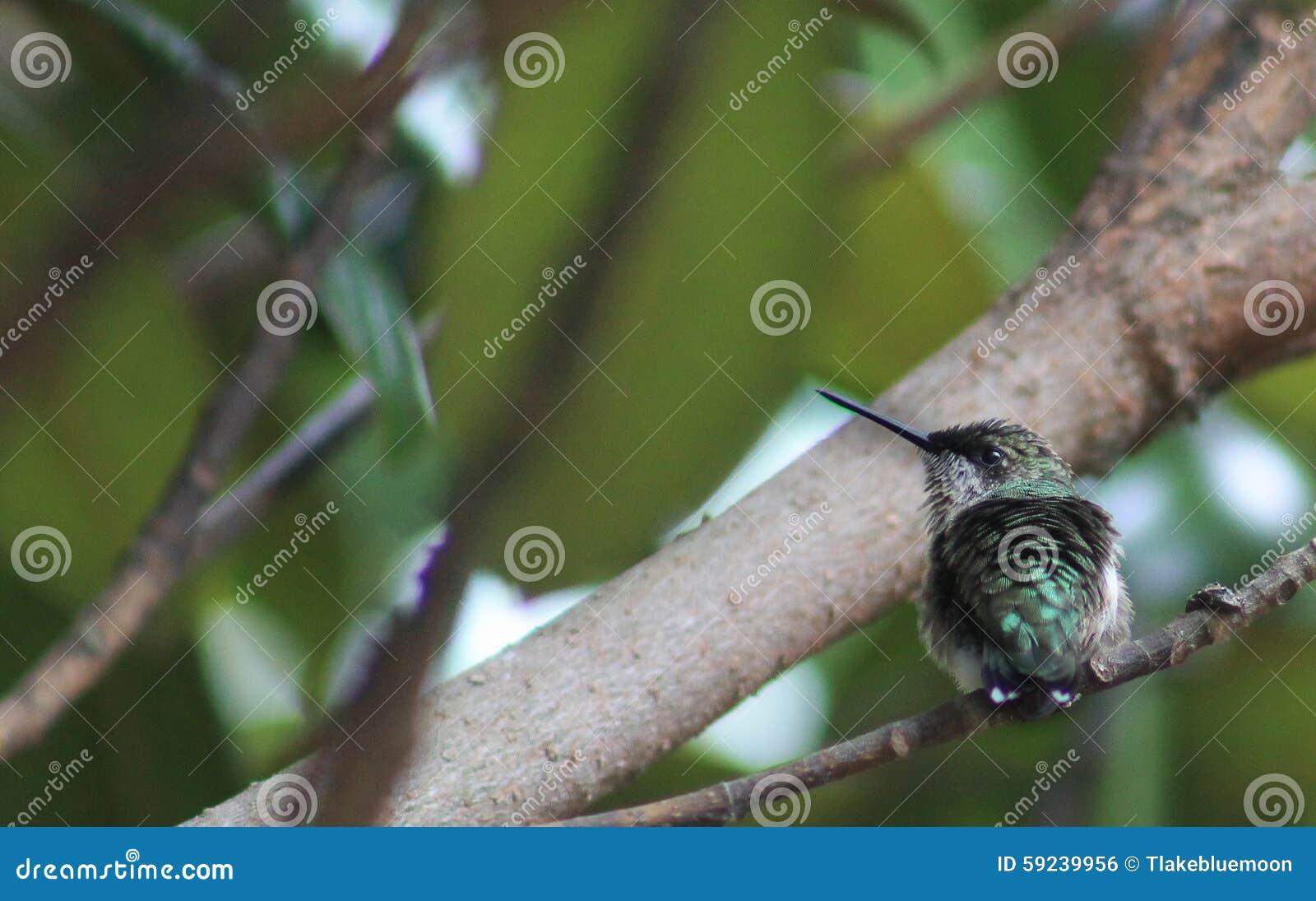 El colibrí mira a la izquierda