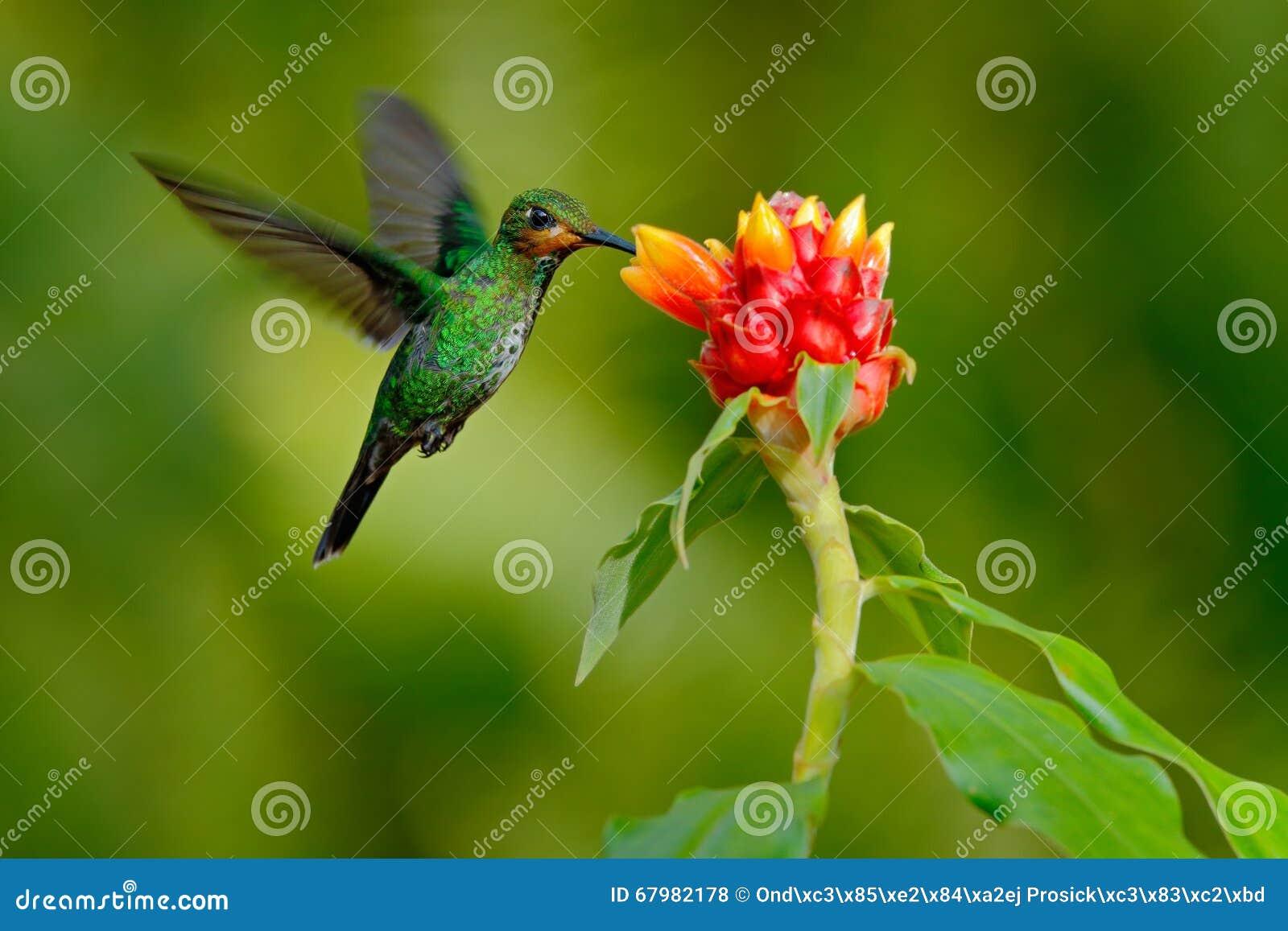 El colibrí Verde-coronó brillante, jacula de Heliodoxa, pájaro verde del vuelo de Costa Rica al lado de la flor roja hermosa con