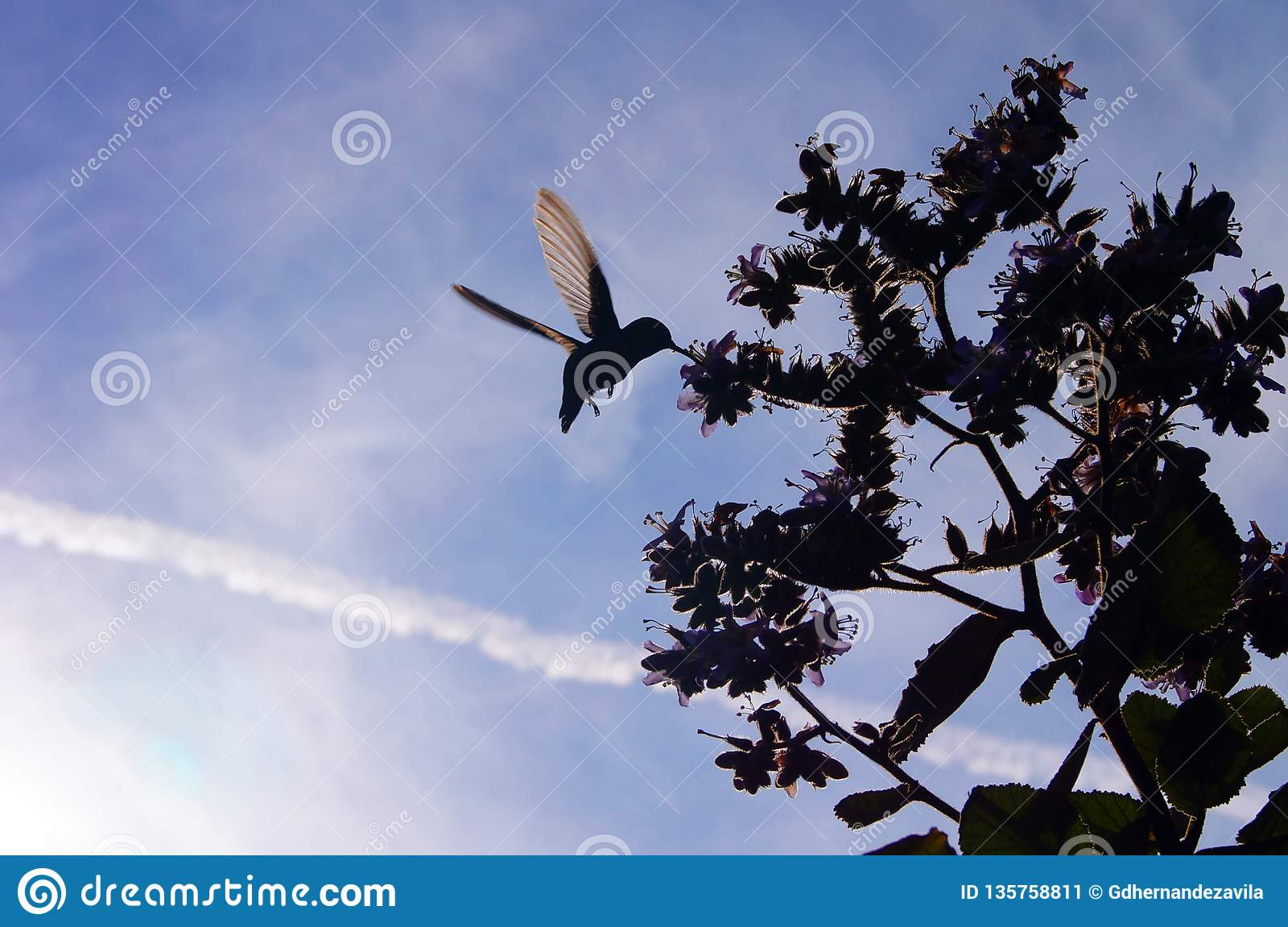 El colibrí vuela a la miel