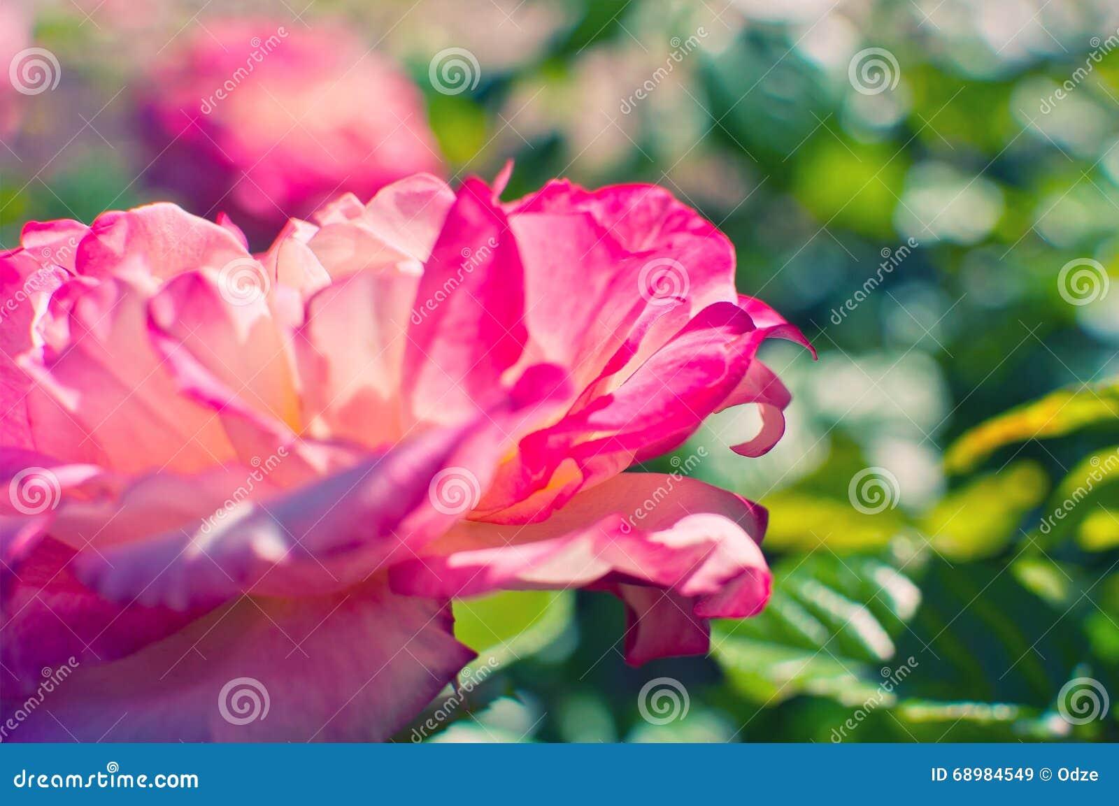 El color de rosa hermoso se levantó en un jardín