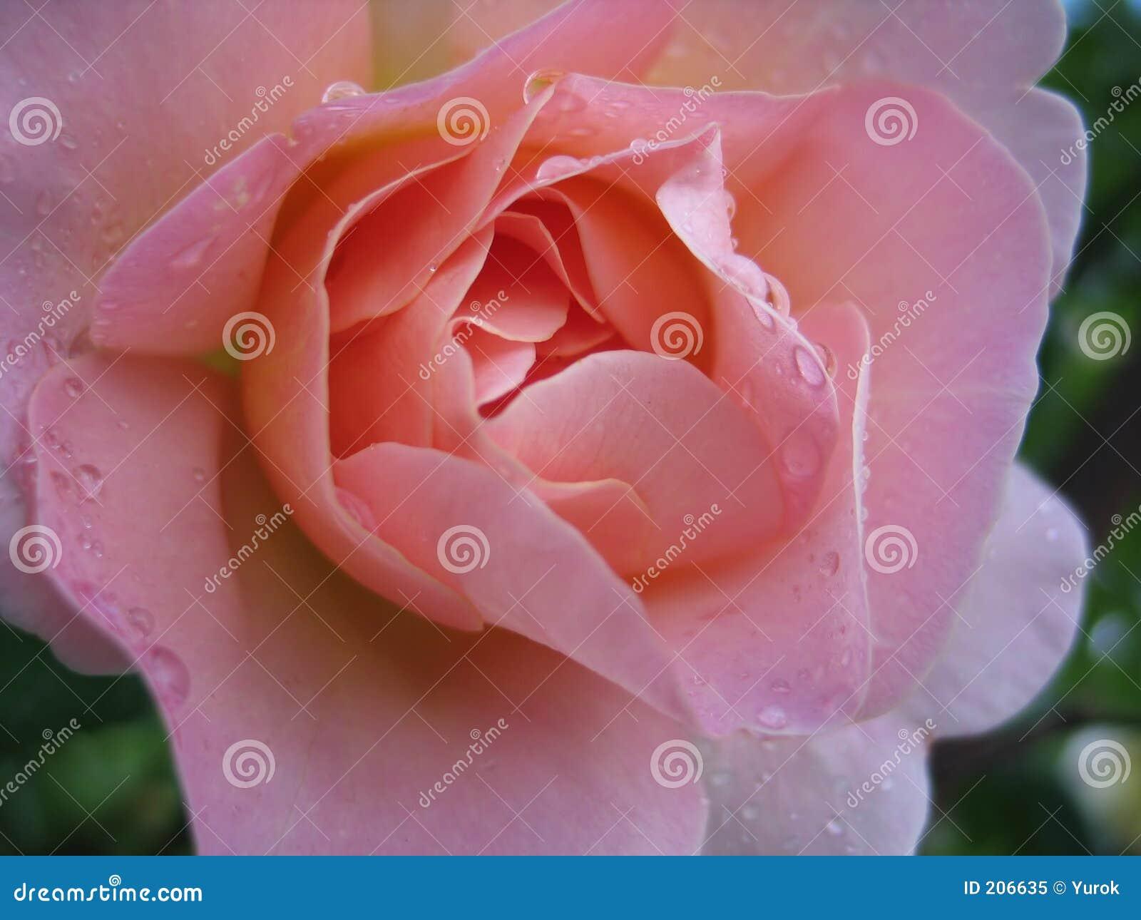 El color de rosa mojado se levantó