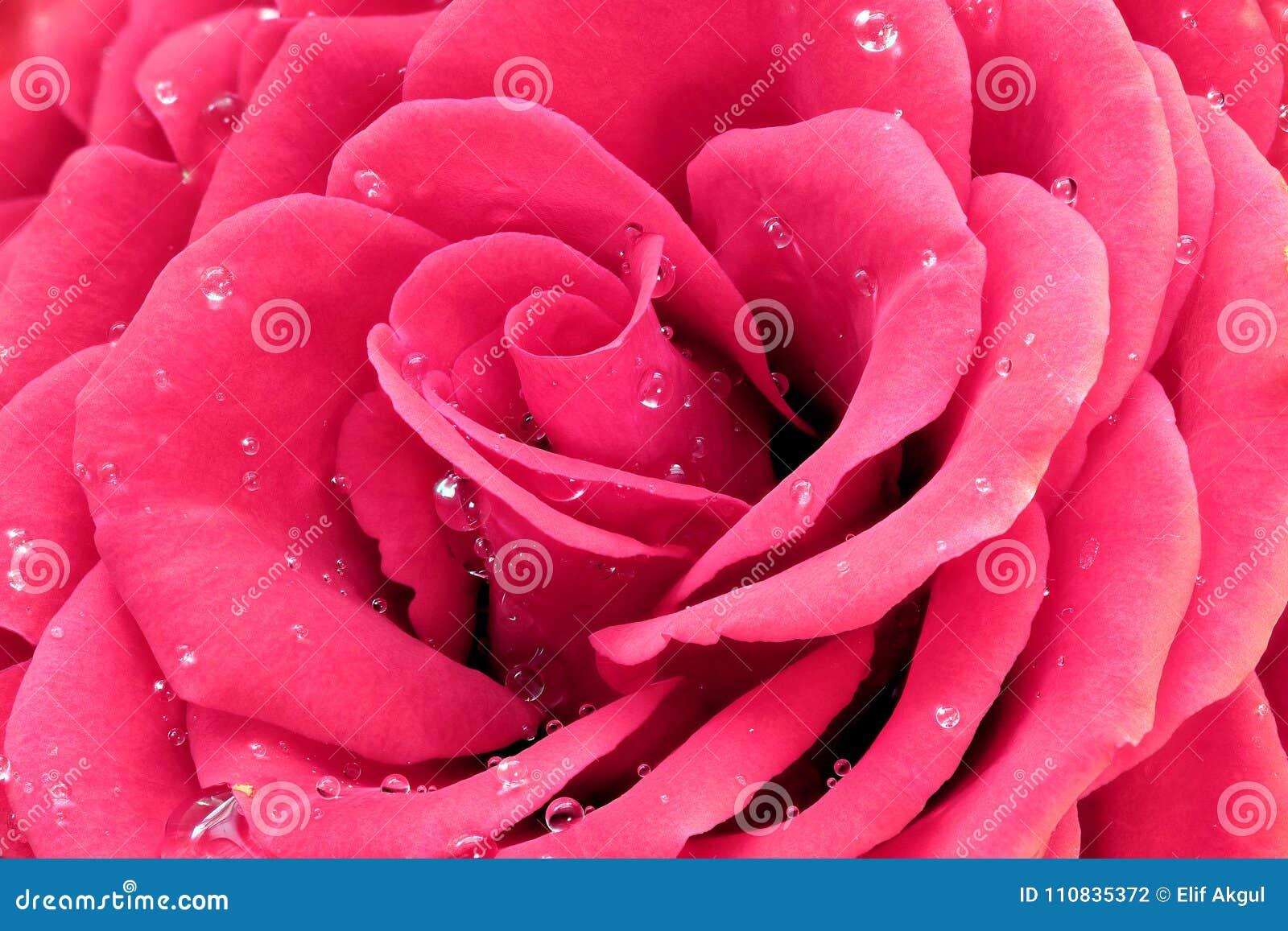 El color de rosa se levantó con gotas del agua