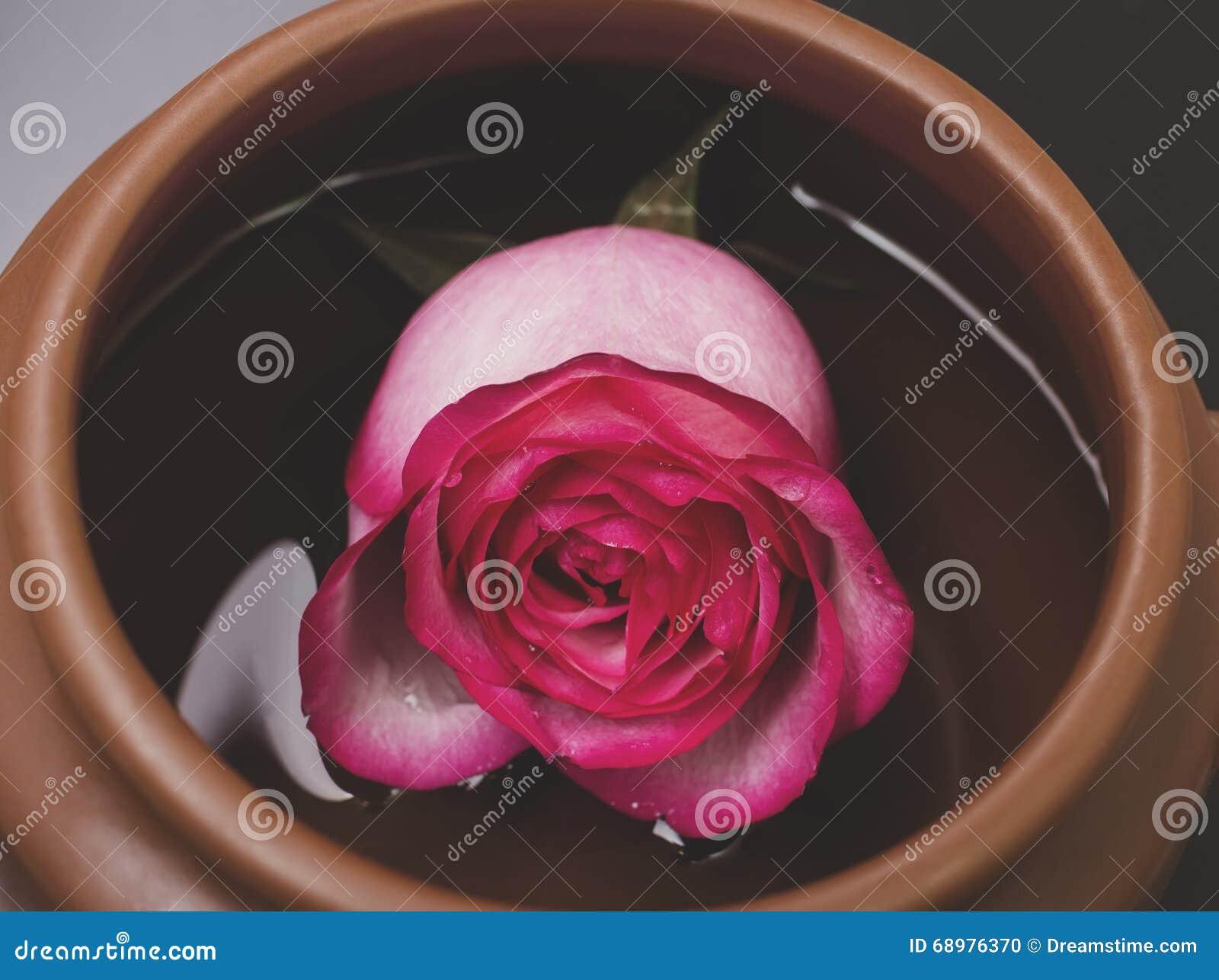 El color de rosa se levantó en agua