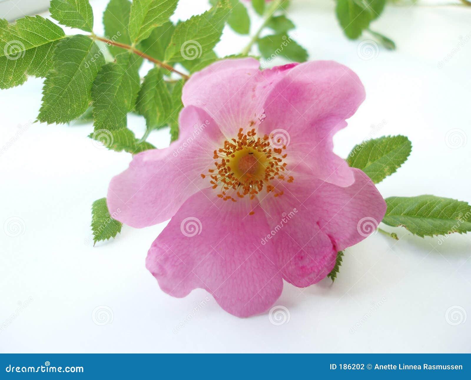 El color de rosa se levantó en el fondo blanco