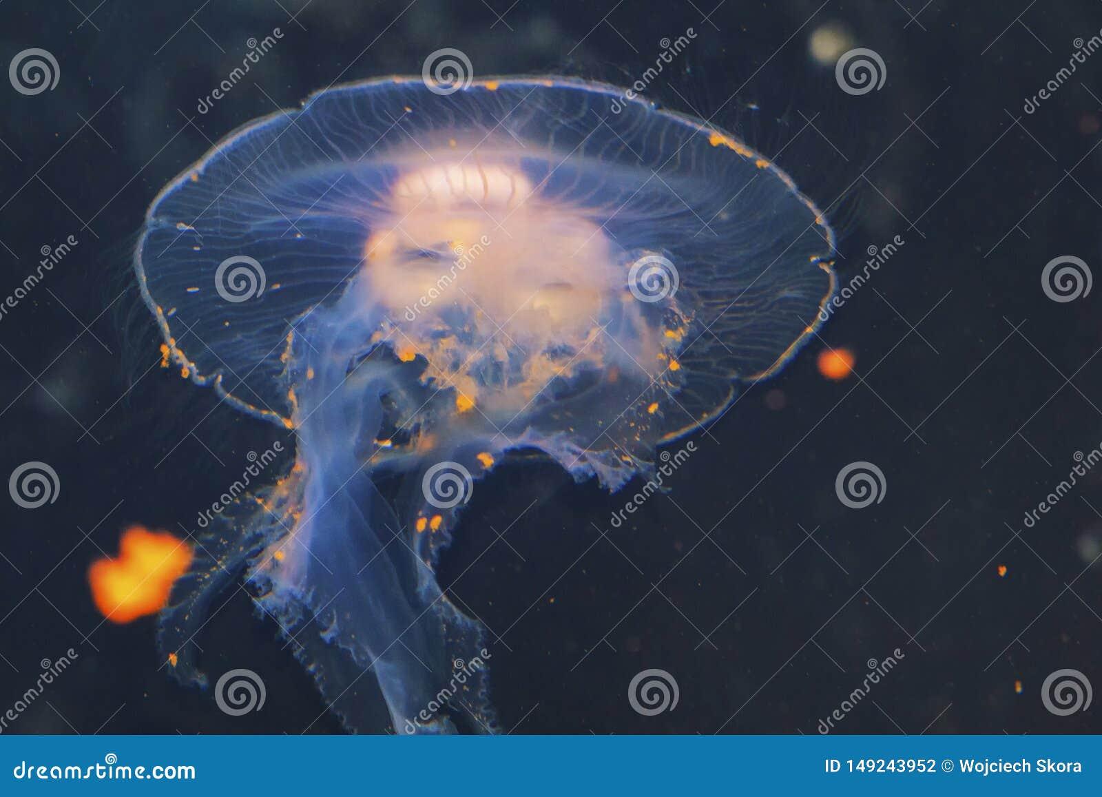 El colorata rayado púrpura del Chrysaora de las medusas una opinión las medusas, ortiga del mar, medusa Medusozoa