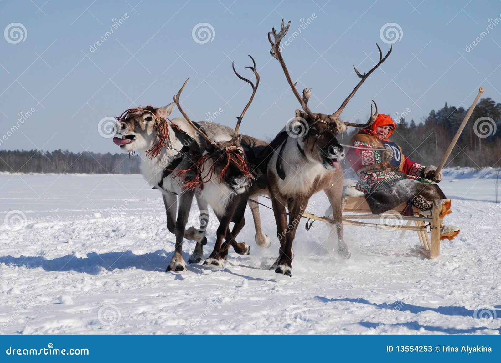 El competir con siberiano de los ciervos
