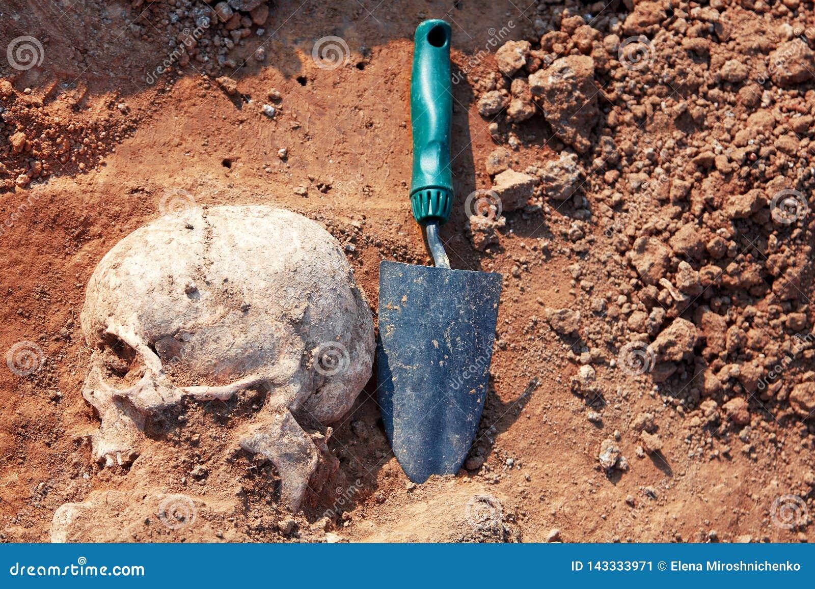 El concepto de excavaciones arqueológicas El cráneo humano de los restos es medio en la tierra con la pala cerca Proceso picador