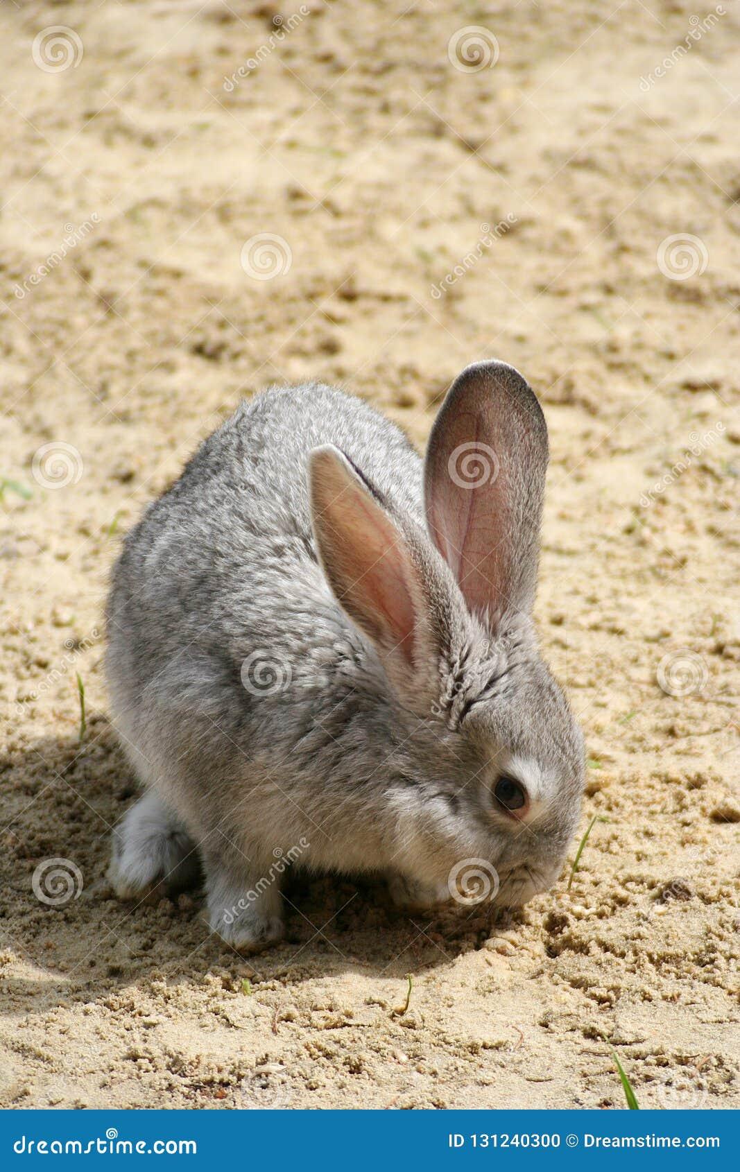 El conejo espigado mordisca hierba verde, hizo su manera a través de la arena