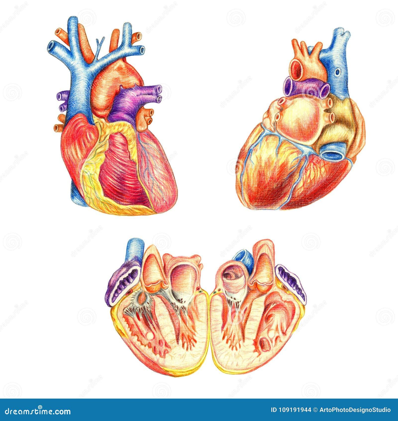 El Corazón Humano Visto Del Frente, Detrás Y Longitudinalmente Corte ...