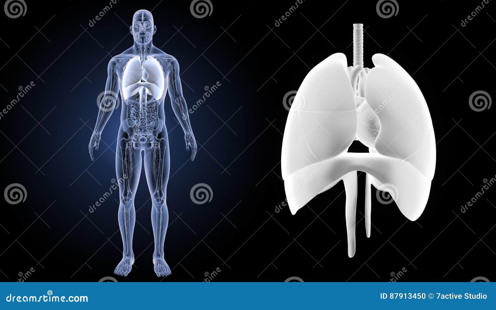 El Corazón, Los Pulmones Y El Diafragma Enfocan Con La Opinión ...
