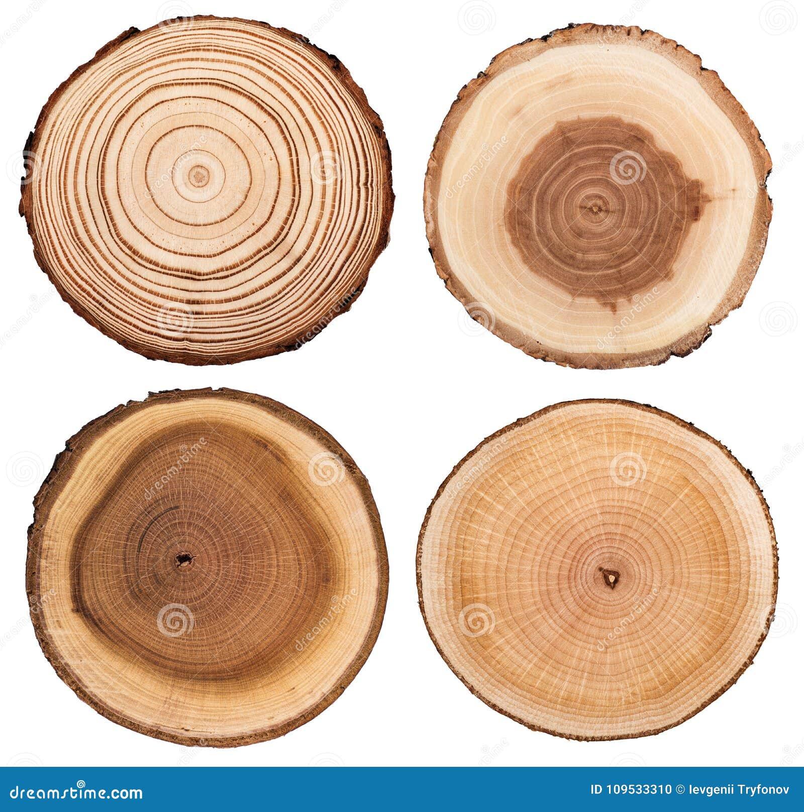 El corte transversal del tronco de árbol que mostraba los anillos de crecimiento fijó aislado en el fondo blanco