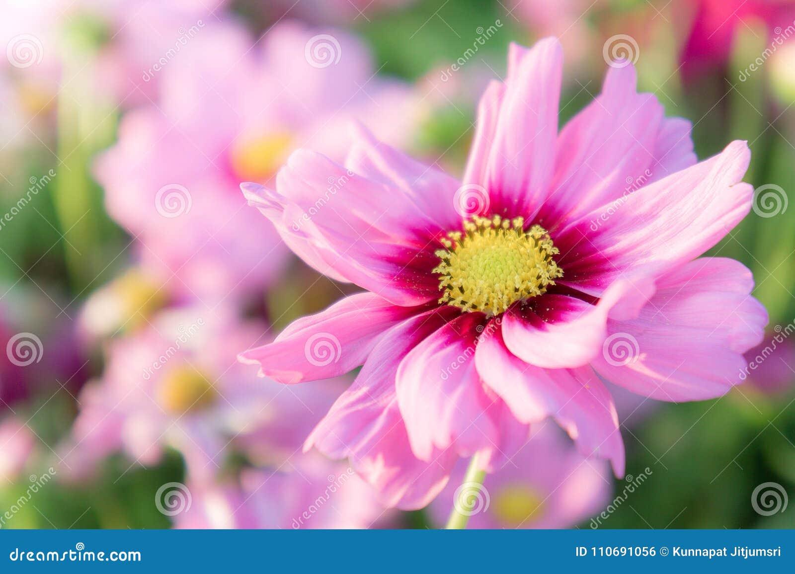 El cosmos rosado florece, las flores del flor de la margarita en el jardín